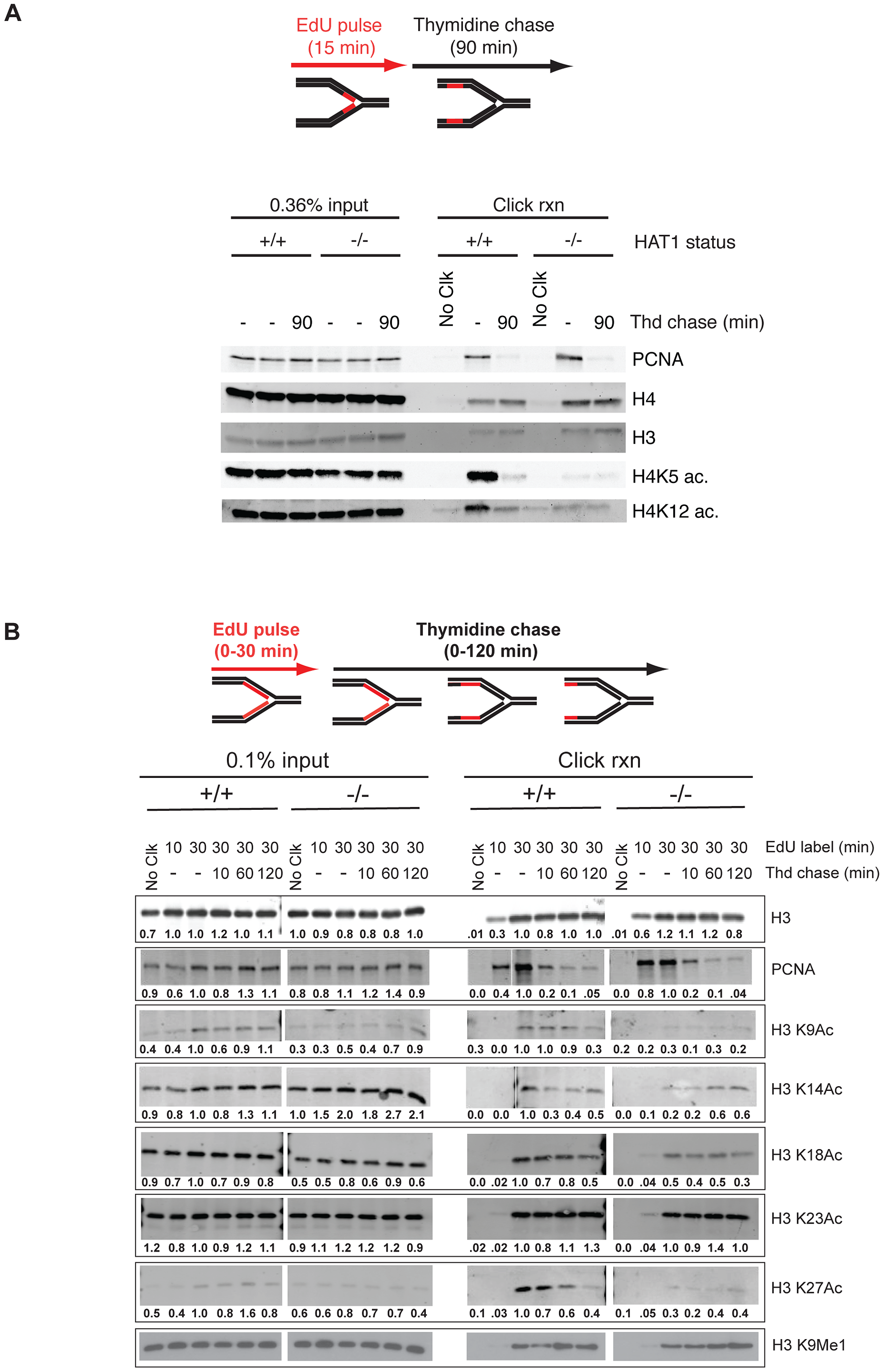 Hat1 is required for the acetylation of histones H3 and H4 deposited during replication-coupled chromatin assembly.