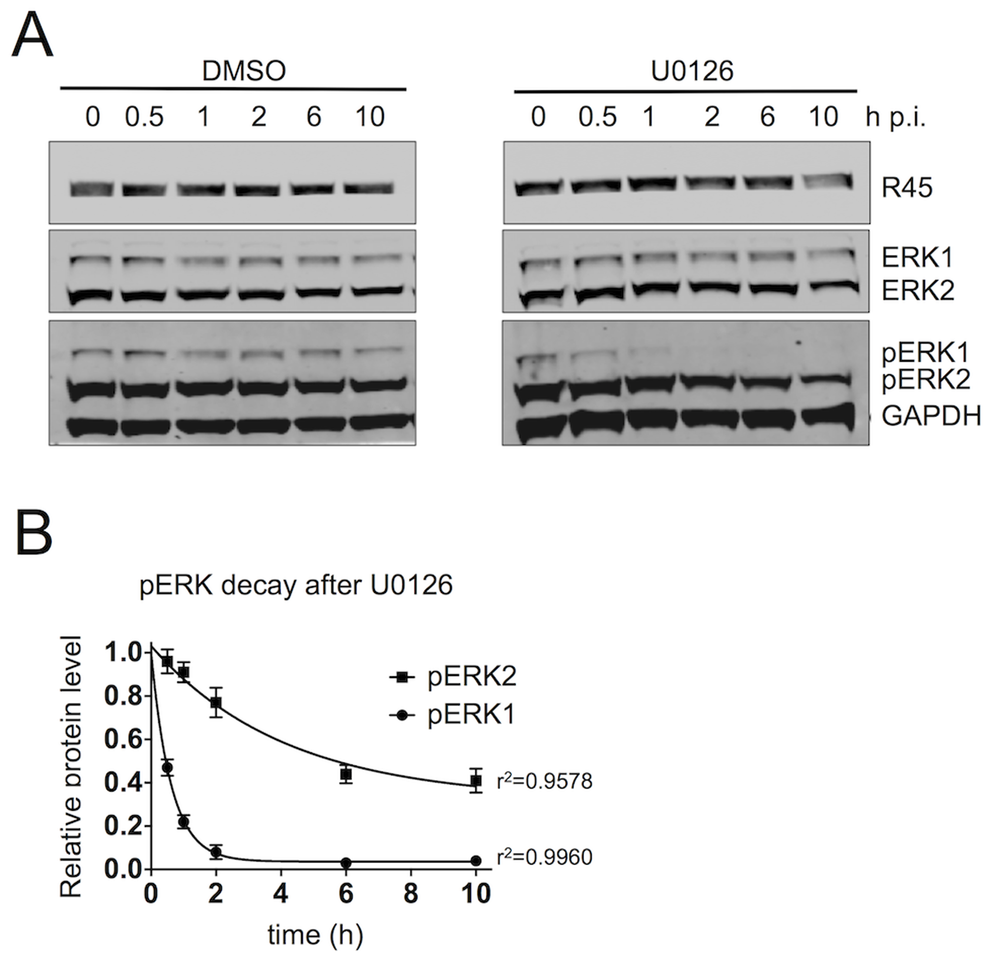 The R45-containing complex predominantly protects pERK2 over pERK1.