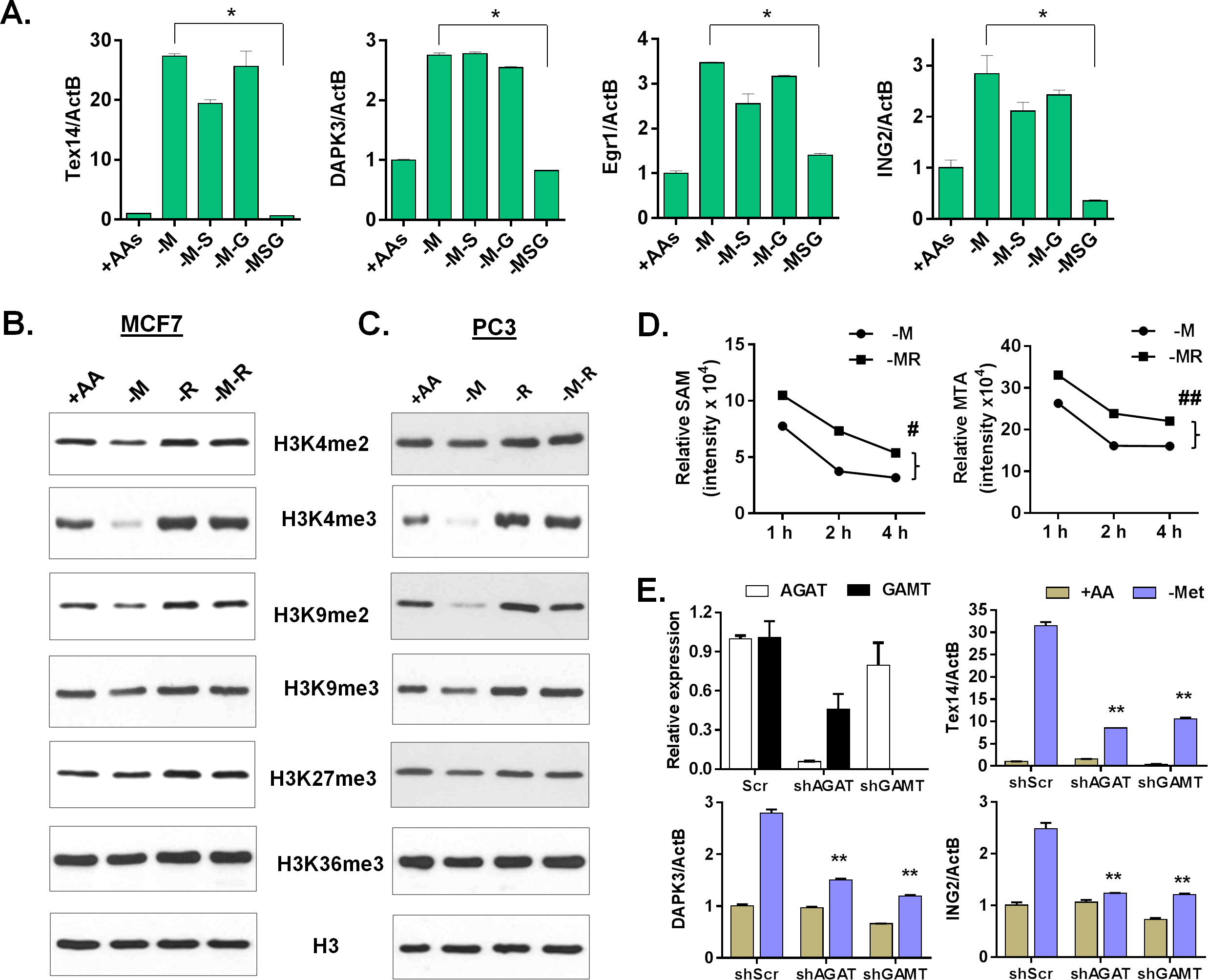 Arginine/glycine-dependent creatine biosynthesis is required for the reduction of histone methylation and the methionine-deprived specific gene response.