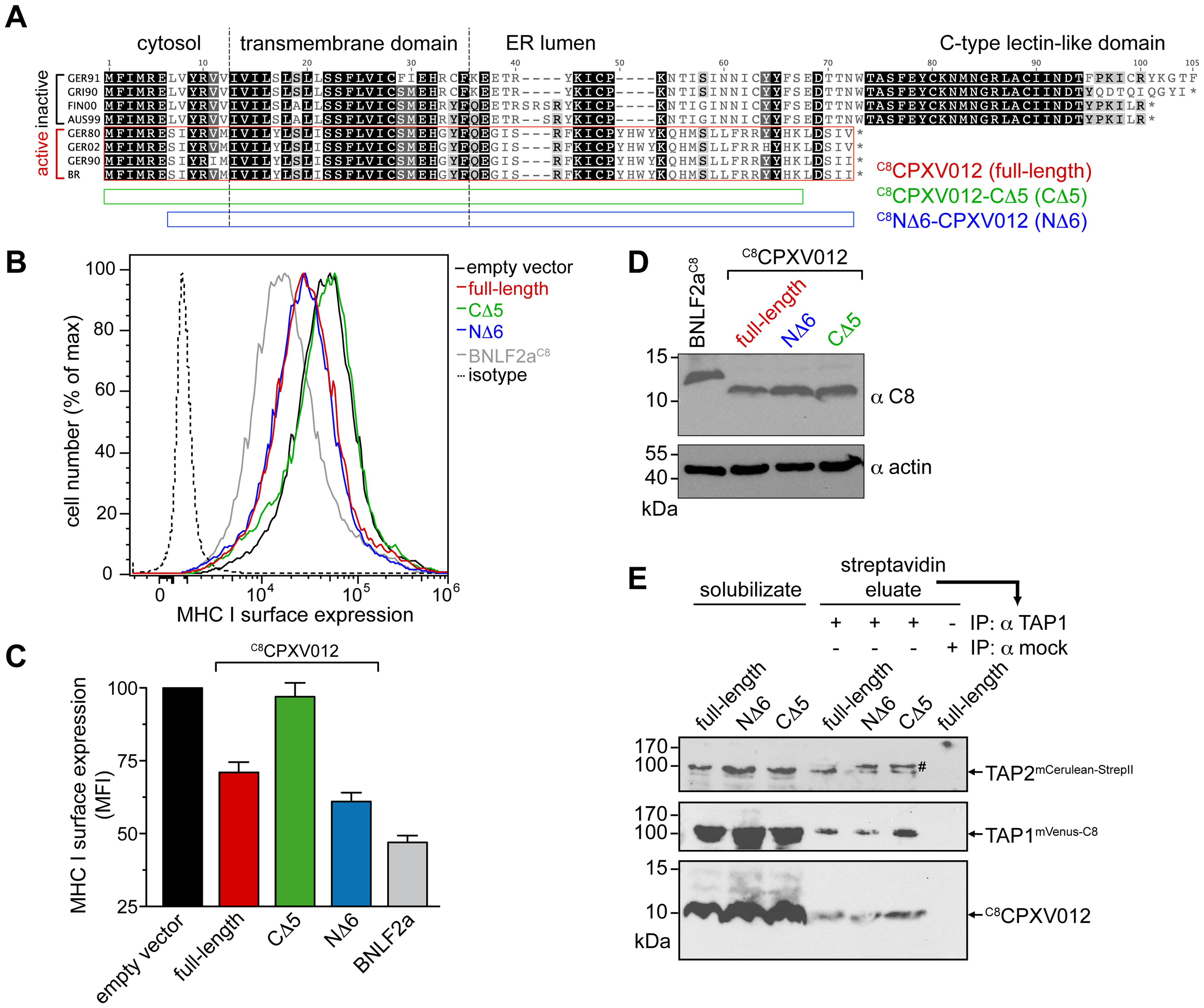 CPXV012 evolved a unique ER-lumenal sequence that is essential for TAP inhibition.