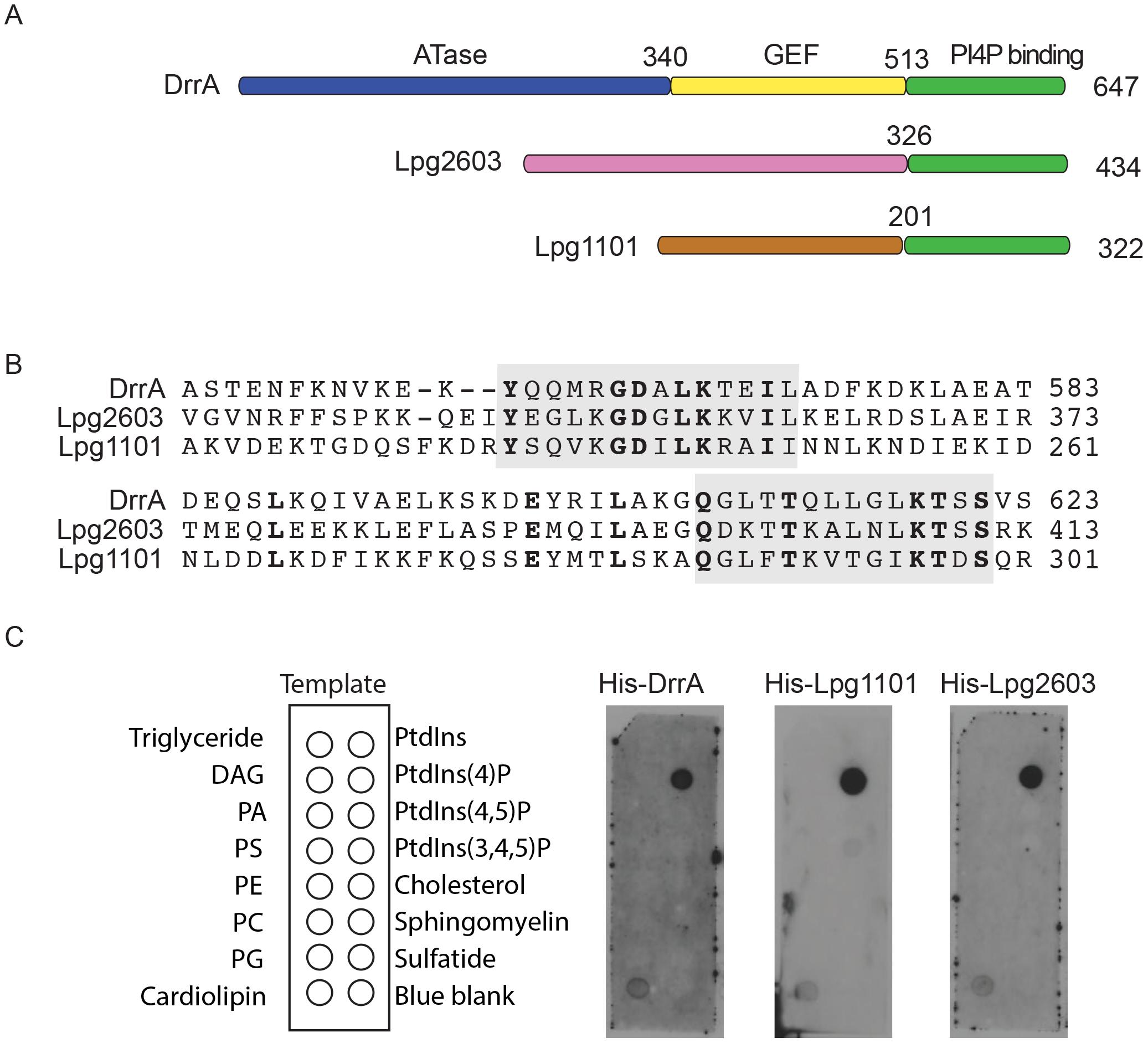 A conserved <i>Legionella</i>-effector PI4P-binding region.