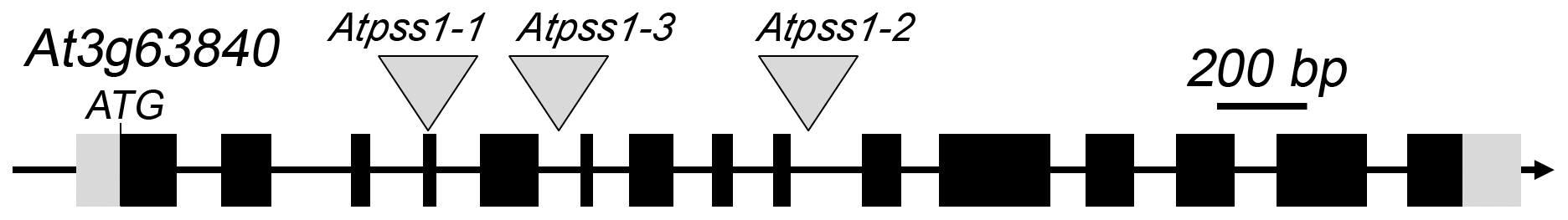 The <i>AtPSS1</i> gene and mutations.