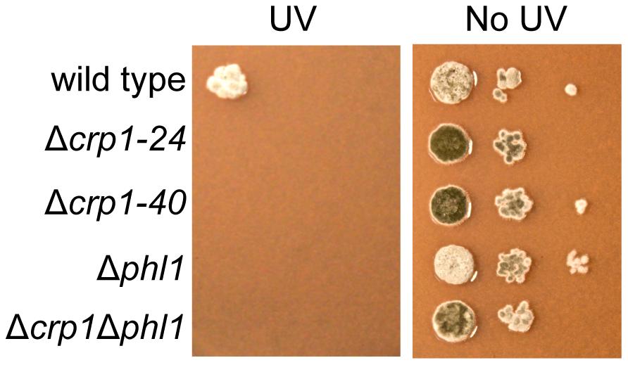 Photoreactivation of <i>CRP1</i>.
