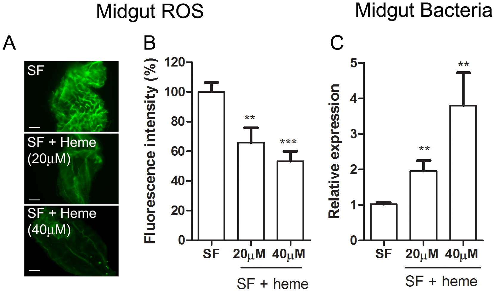 Heme decreases ROS levels in the midgut and allow proliferation of intestinal microbiota.