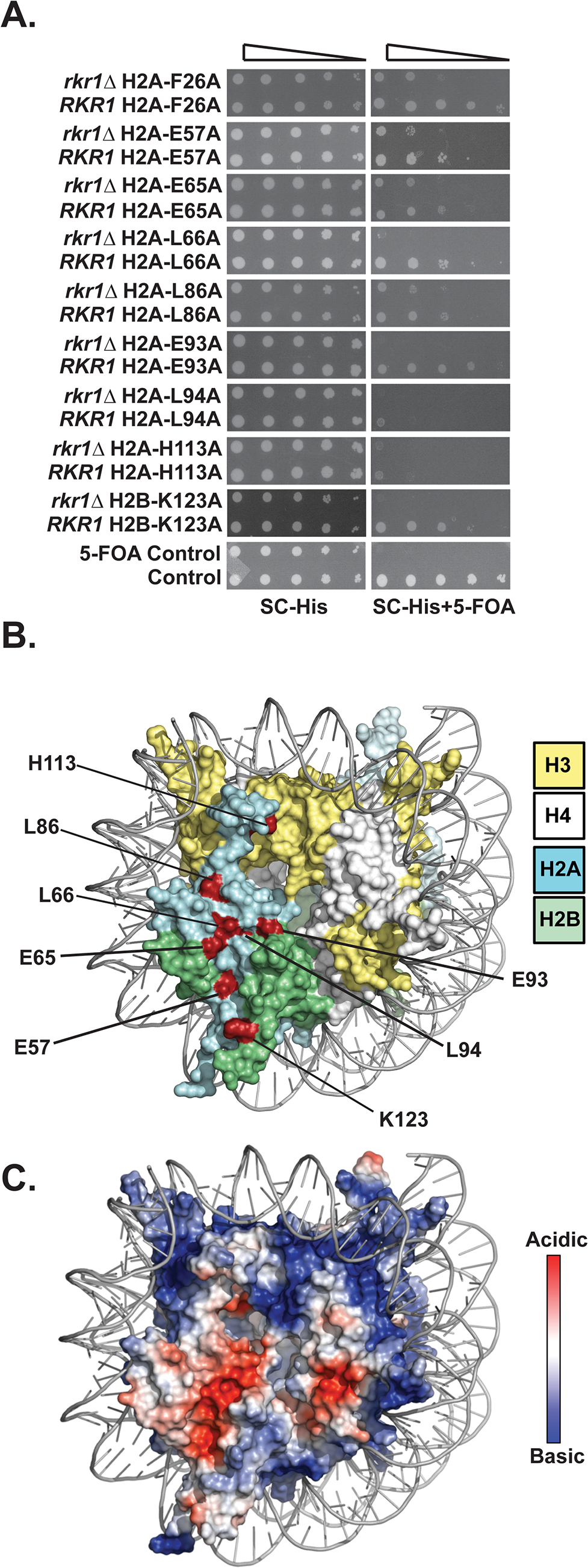 Identification of H2A and H2B residues required for growth in the absence of <i>RKR1</i>.