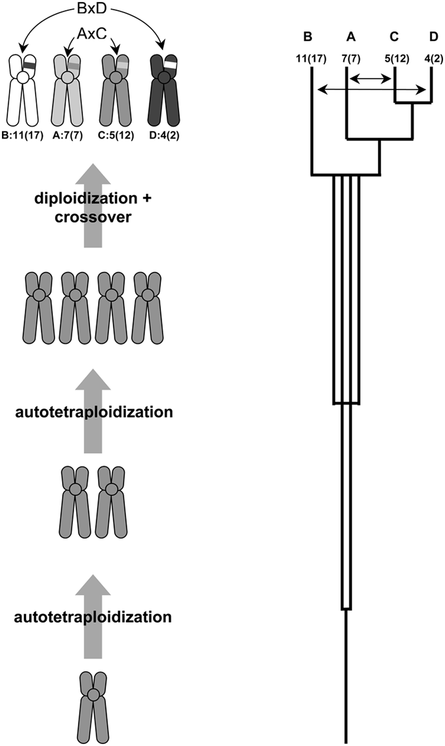 Reconstruction of the Hox cluster duplication history.