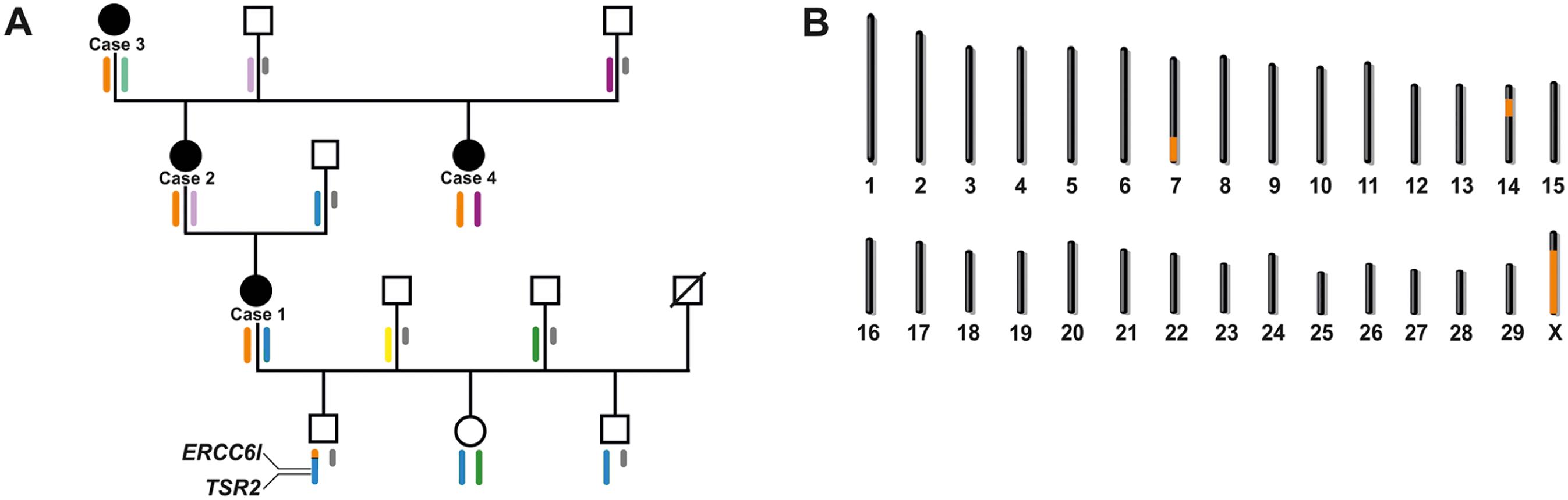 X-linked inheritance of bovine streaked hairlessness.