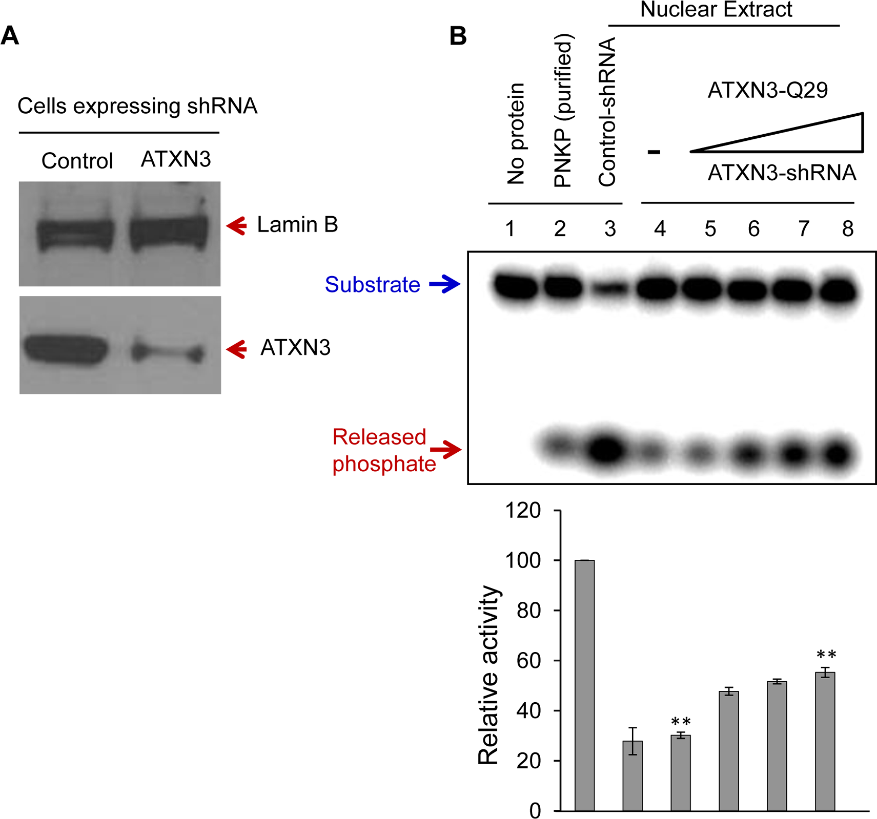 ATXN3 depletion decreases PNKP's 3'-phosphatase activity.