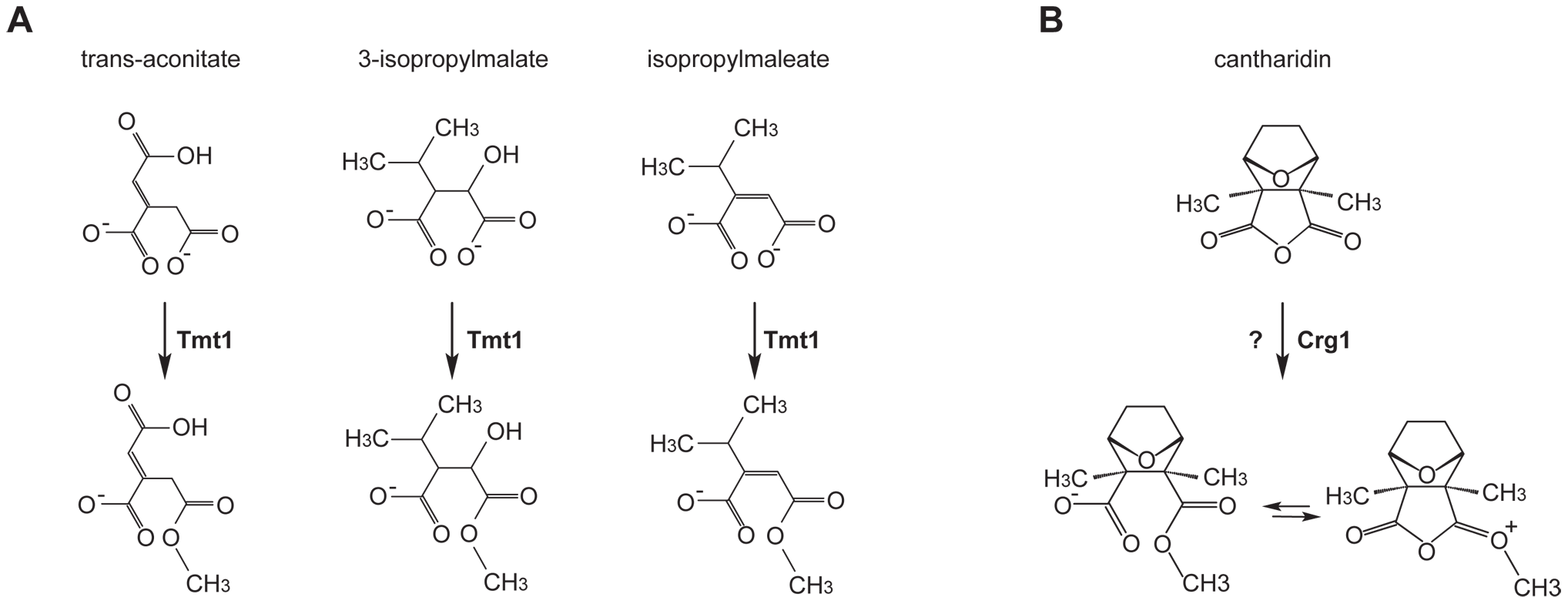Small molecule methyltransferase TMT1 is a sequence homolog of Crg1.