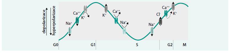 Schéma. Průběh buněčného cyklu se zaměřením na změny membránového napětí způsobené kolísající aktivitou jednotlivých iontových proudů.
