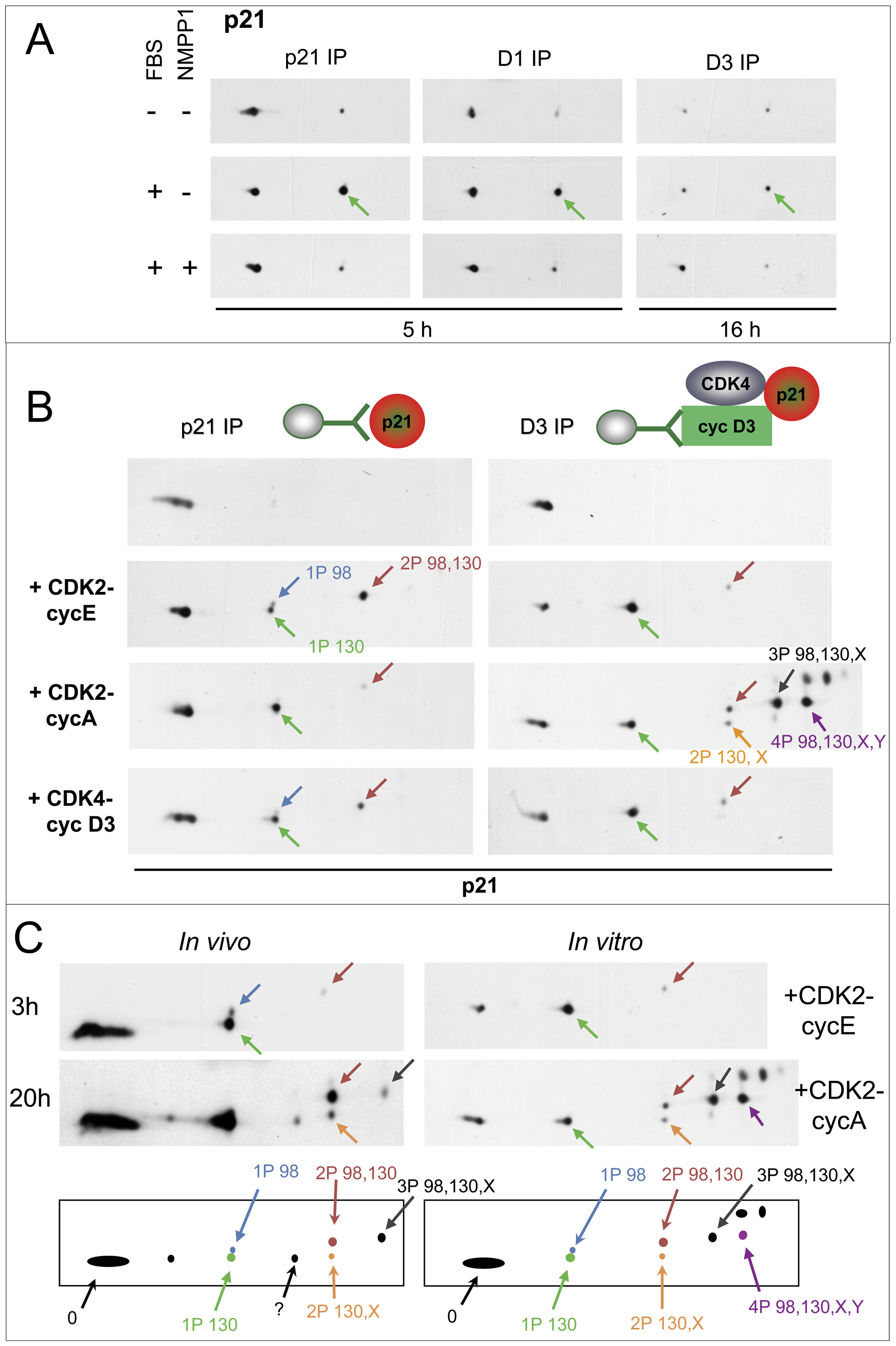 Specific inhibition of CDK7 by 1-NMPP1 prevents the main phosphorylation of p21, which is performed <i>in vitro</i> by both CDK4 and CDK2.
