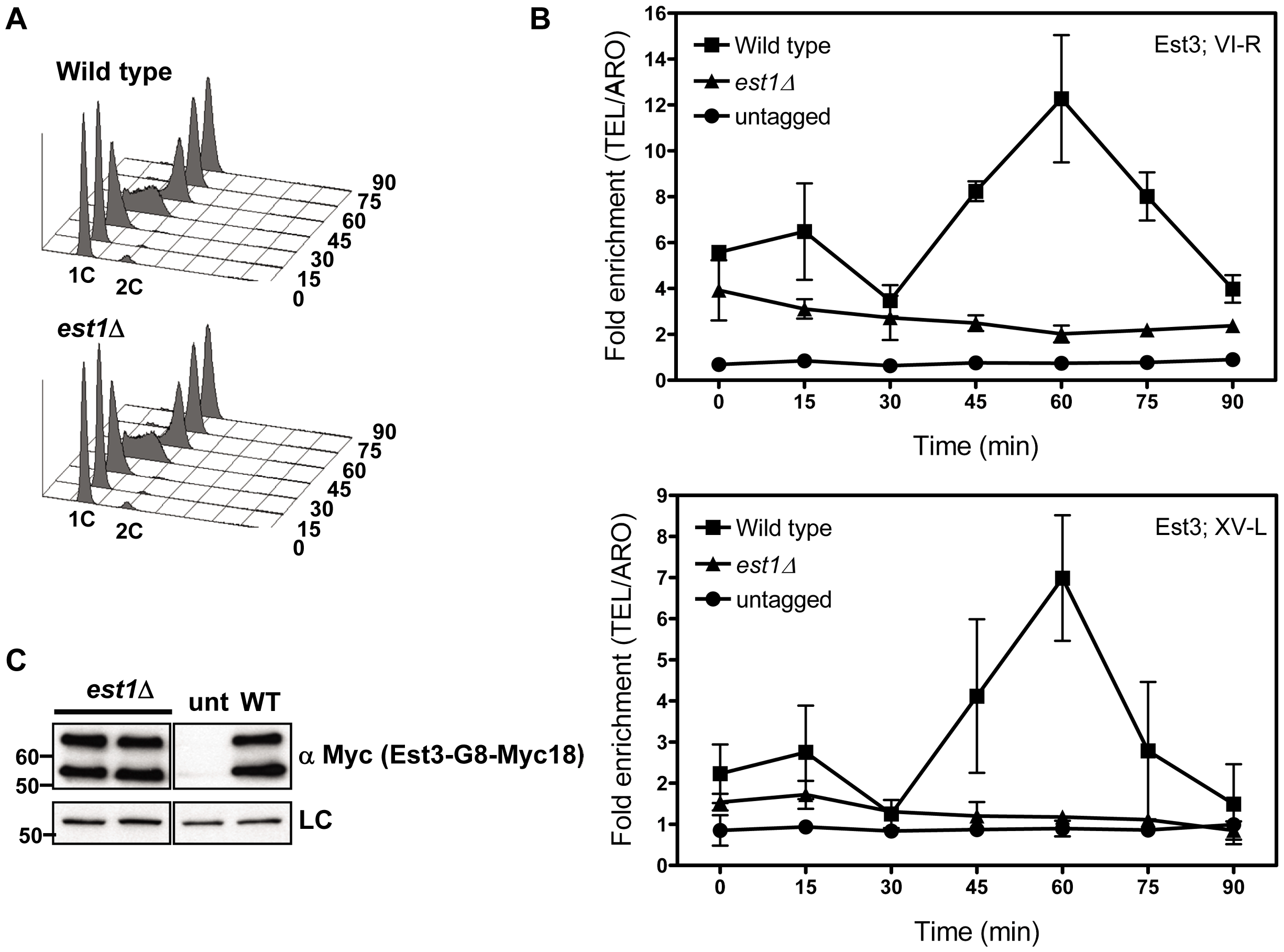 Telomere association of Est3 at late S/G2 phase is reduced in the absence of <i>EST1</i>.
