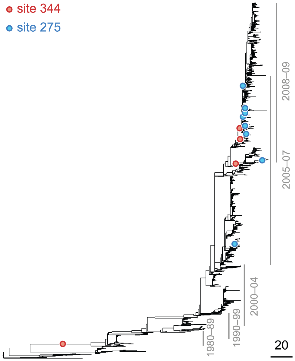 Phylogenetic tree of NA (subtype N1) illustrating a putatively epistatic interaction between the leading site 344 (red circles) and the trailing site 275 (blue circles).