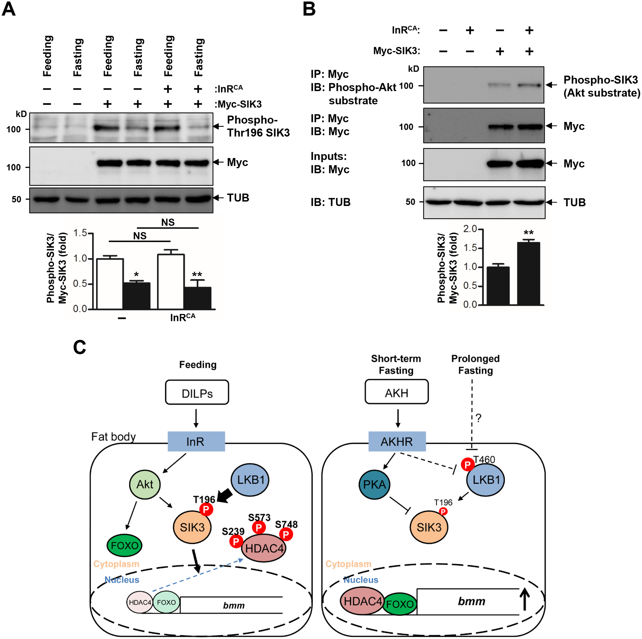 Activation of insulin receptor increases phosphorylation of SIK3 by Akt.