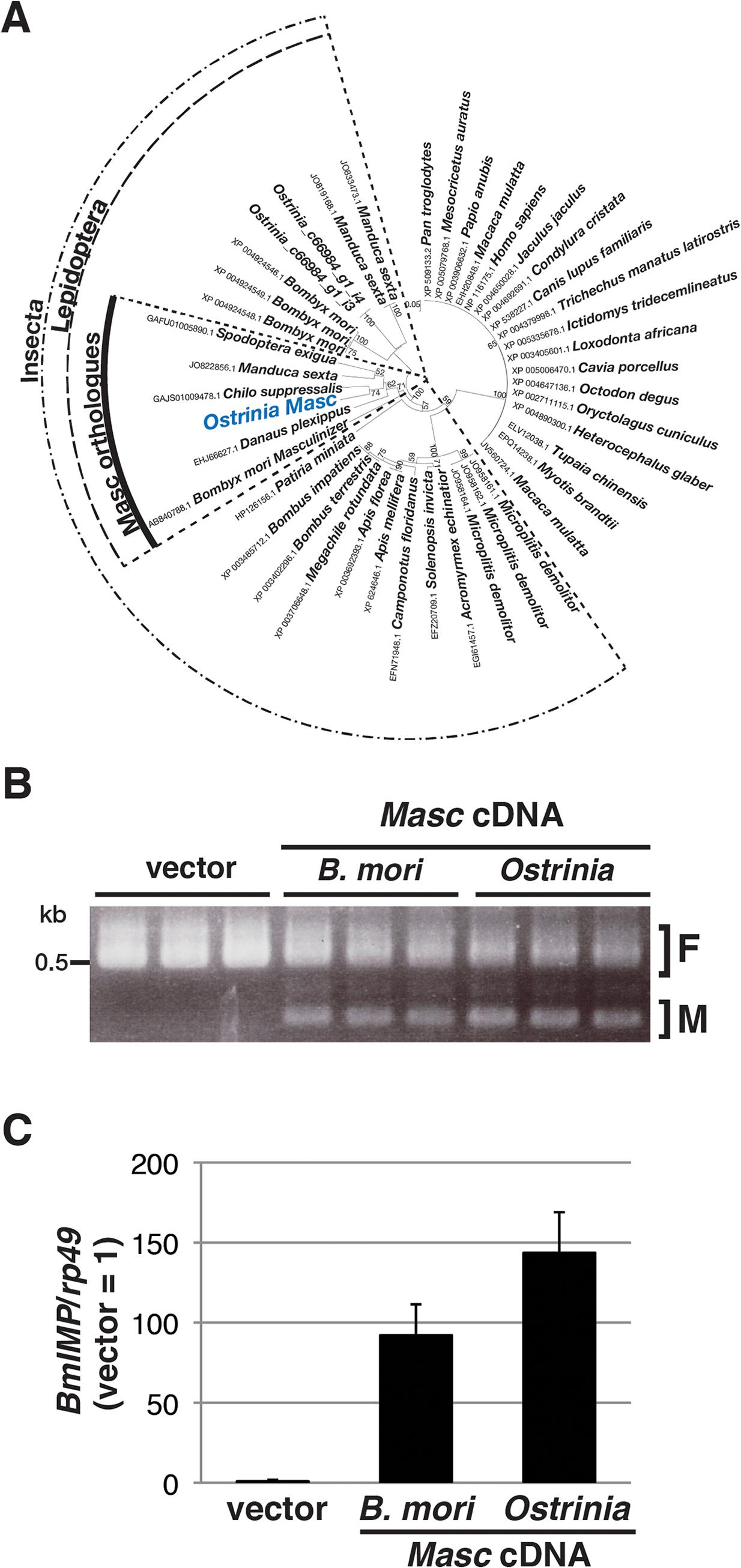 Identification and characterization of <i>Ostrinia</i> Masc protein.