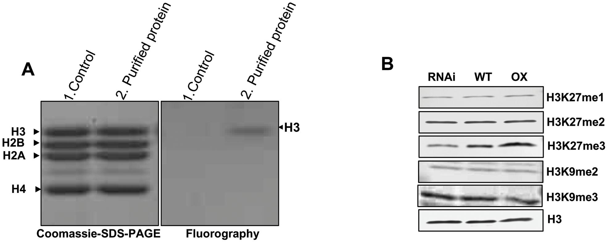 <i>In vitro</i> histone methyl transferase assay and immunoblot analyses of H3 modifications in transgenic lines.