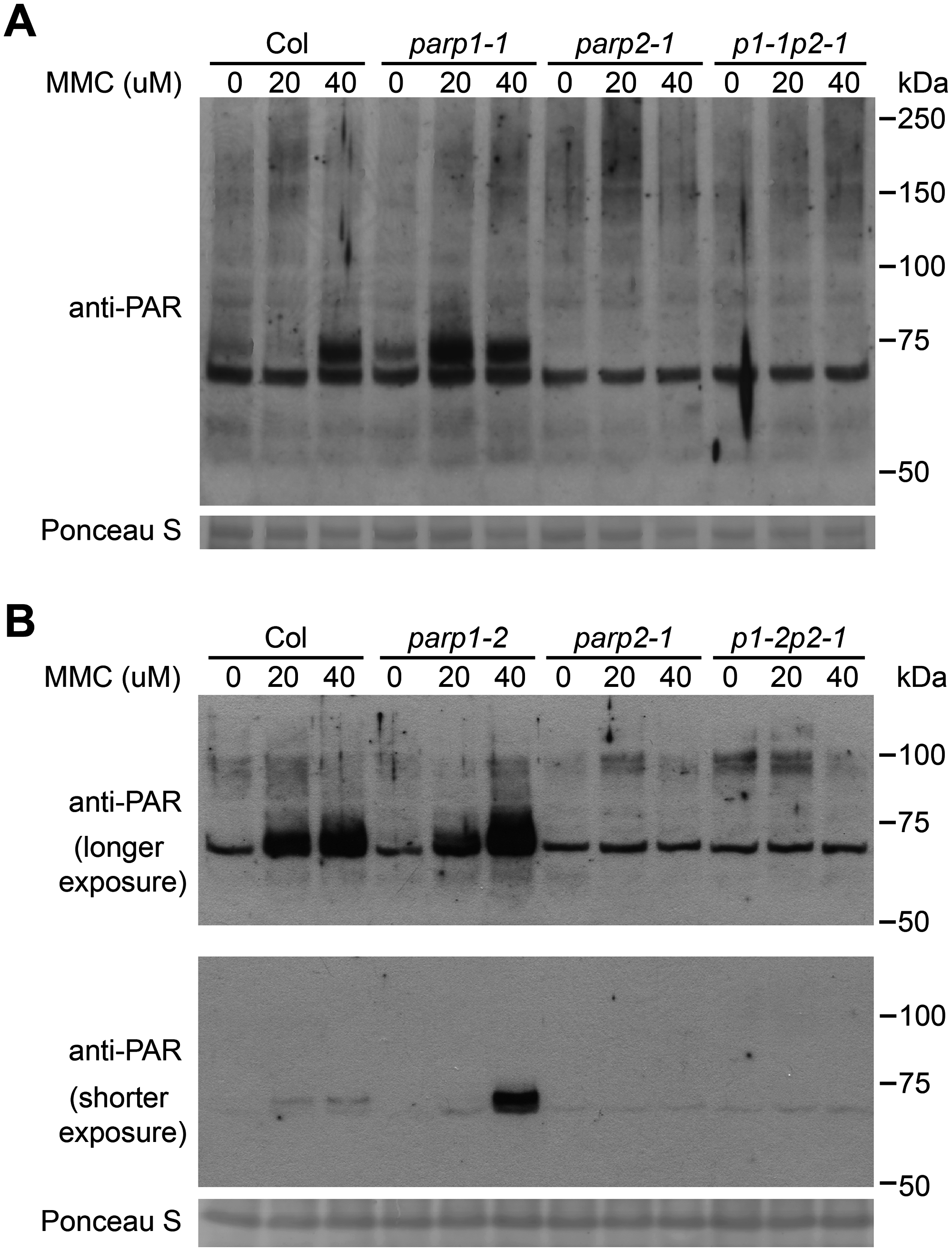 PARP2 activity is regulated by PARP1 in response to DNA alkylating agent mitomycin C.
