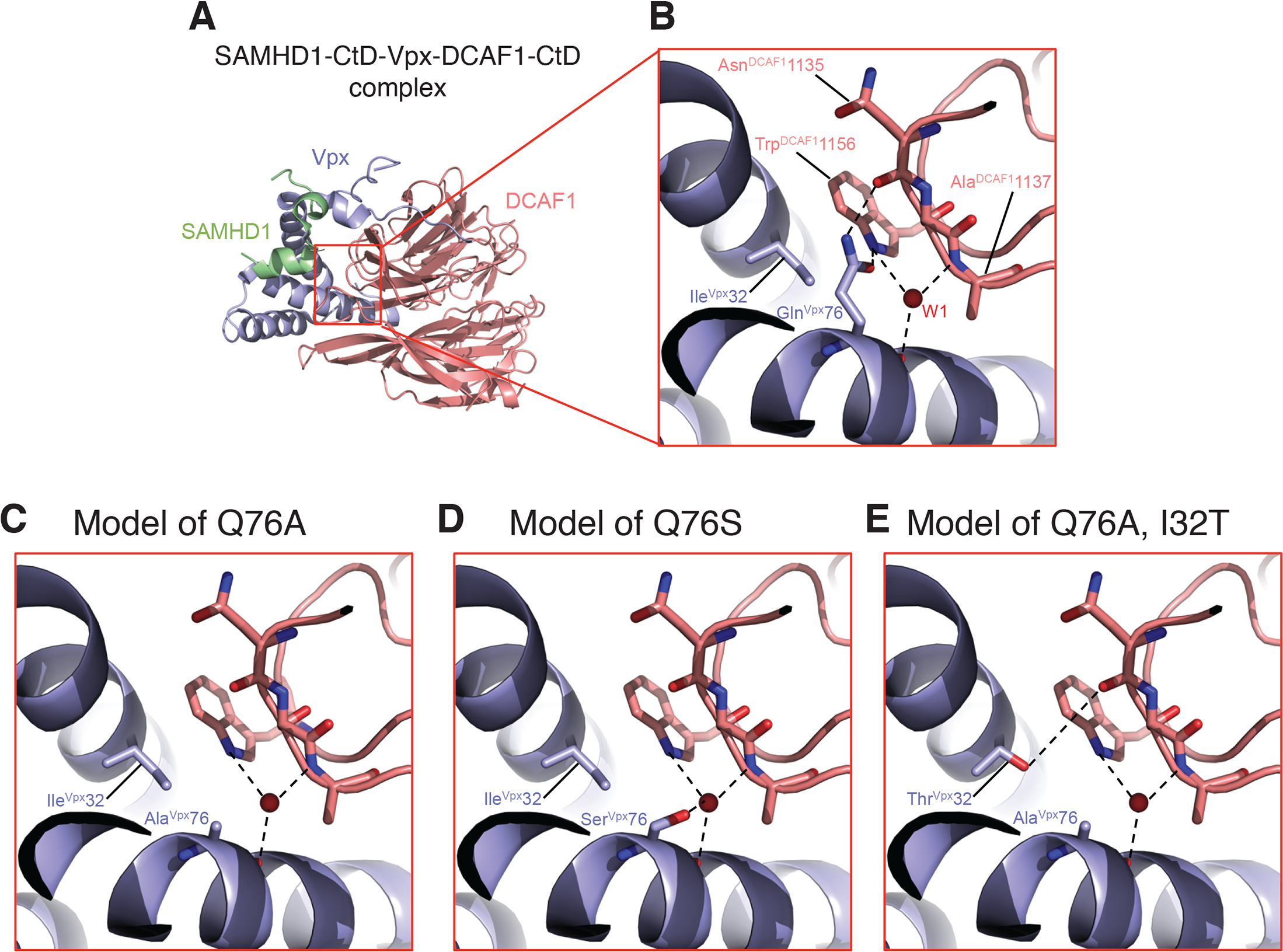Mapping of Vpx mutations at the Vpx-DCAF1-SAMHD1 interface.