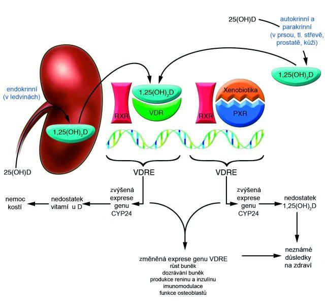 Působení vitaminu D na subcellulární úrovni<br> Vitamin D patří spolu se steroidy, tyroidními hormony a retinoidy mezi hormony, které mohou procházet plazmatickou membránou. Jejich receptor je lokalizován v jádře nebo v cytosolu. Pozdní odpověď na hormonální signál prostřednictvím jaderných receptorů je podstatně pomalejší (řádově desítek minut) v porovnání s časnou odpovědí zprostředkovanou membránovými receptory (během několika minut) (5). Rychlý vzestup nitrobuněčného kalcia je po vazbě na membránové receptory navozen aktivací kalciových kanálů a také prostřednictvím guanosinmonofosfátu nebo proteinkinázy C. 1,25(OH)<sub>2</sub> vitamin D<sub>3</sub> tedy tímto způsobem zajišťuje krátkodobou i dlouhodobou regulaci homeostázy kalcia (95). Po vazbě na jaderný receptor cílových tkání 1,25(OH)<sub>2</sub> vitaminem D<sub>3</sub> dochází k fosforylaci a konformační změně molekuly VDR. VDR tak vytvoří heterodimerický komplex s receptorem X kyseliny retinové (RXR), který se naváže na specifickou část sekvence DNA, tzv. vitamin D – responsive elements (VDREs) (95, 96). VDREs jsou většinou umístěny v promotorových částech cílových genů (5). Komplex VDR/RXR se může navázat na řadu transkripčních faktorů, tyto transkripční faktory pak spolu s regulačními proteiny aktivují nebo inhibují transkripci tzv. vitaminu D-responzivních genů (96), např. pro CaBP, epiteliální kalciový kanál, ligand receptorového aktivátoru nukleárního faktoru kappa B (RANKL), alkalickou fosfatázu (AP), prostatický specifický antigen (PSA), parathormon (PTH). Kalcitriol tak přímo ovlivňuje transkripci asi 200 genů, jejichž produkty se účastní mnoha fyziologických pochodů v organismu (viz funkce vitaminu D) (srov. 3, 97, 98). Xenobiotika nebo některé složky potravy mohou rovněž ovlivňovat metabolismus vitaminu D, např. aktivací receptoru PXR (pregnane X receptor), který hraje významnou roli v detoxikaci xenobiotik a léků. Tento receptor rovněž může indukovat deficienci vitaminu D díky jeho schopnosti vá