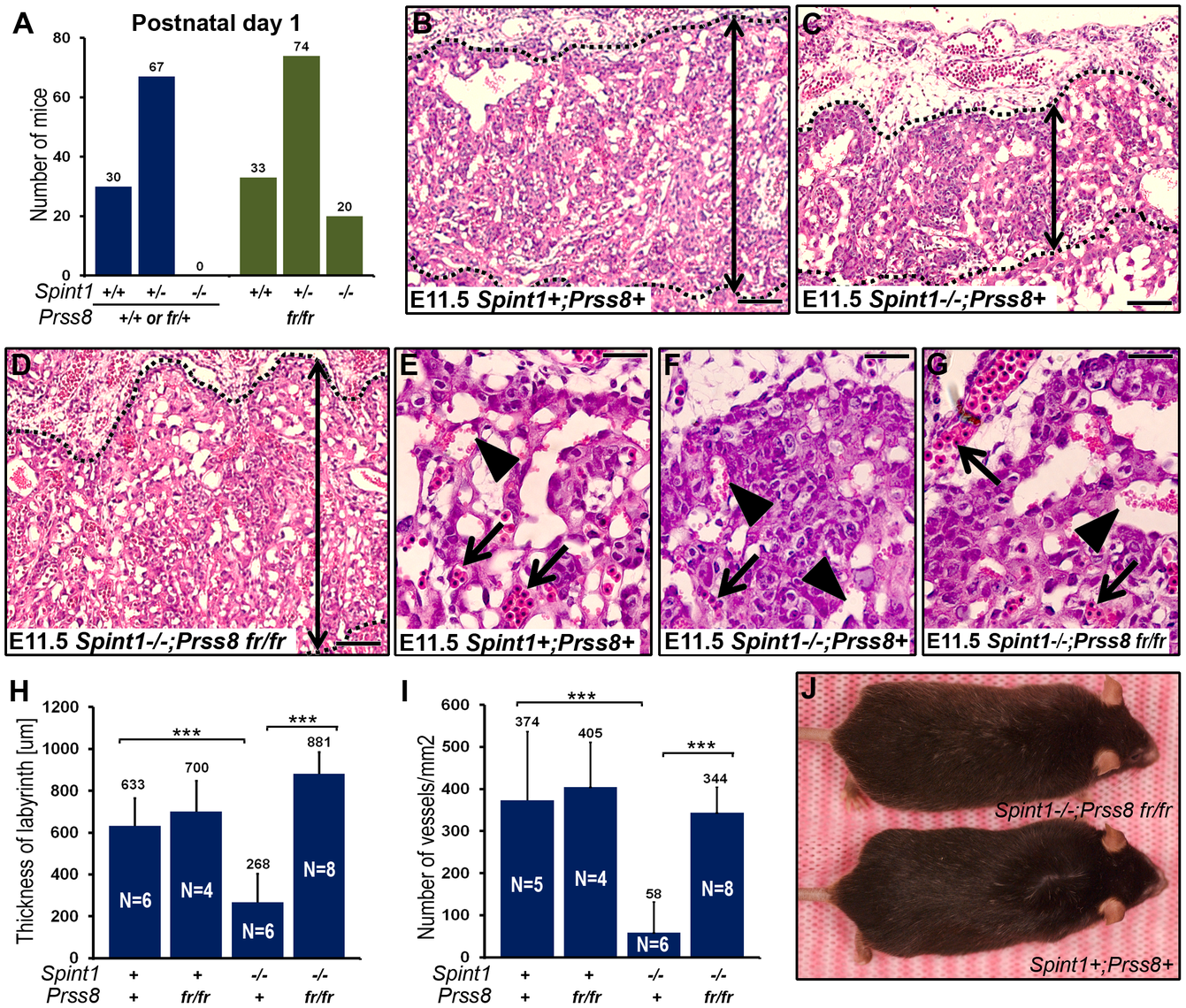 Reduced prostasin activity restores placental development and embryonic survival of HAI-1–deficient mice.