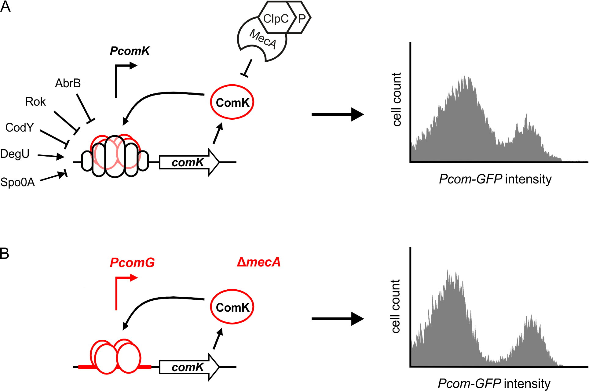 Autostimulation of ComK expression is sufficient for bimodal distribution.
