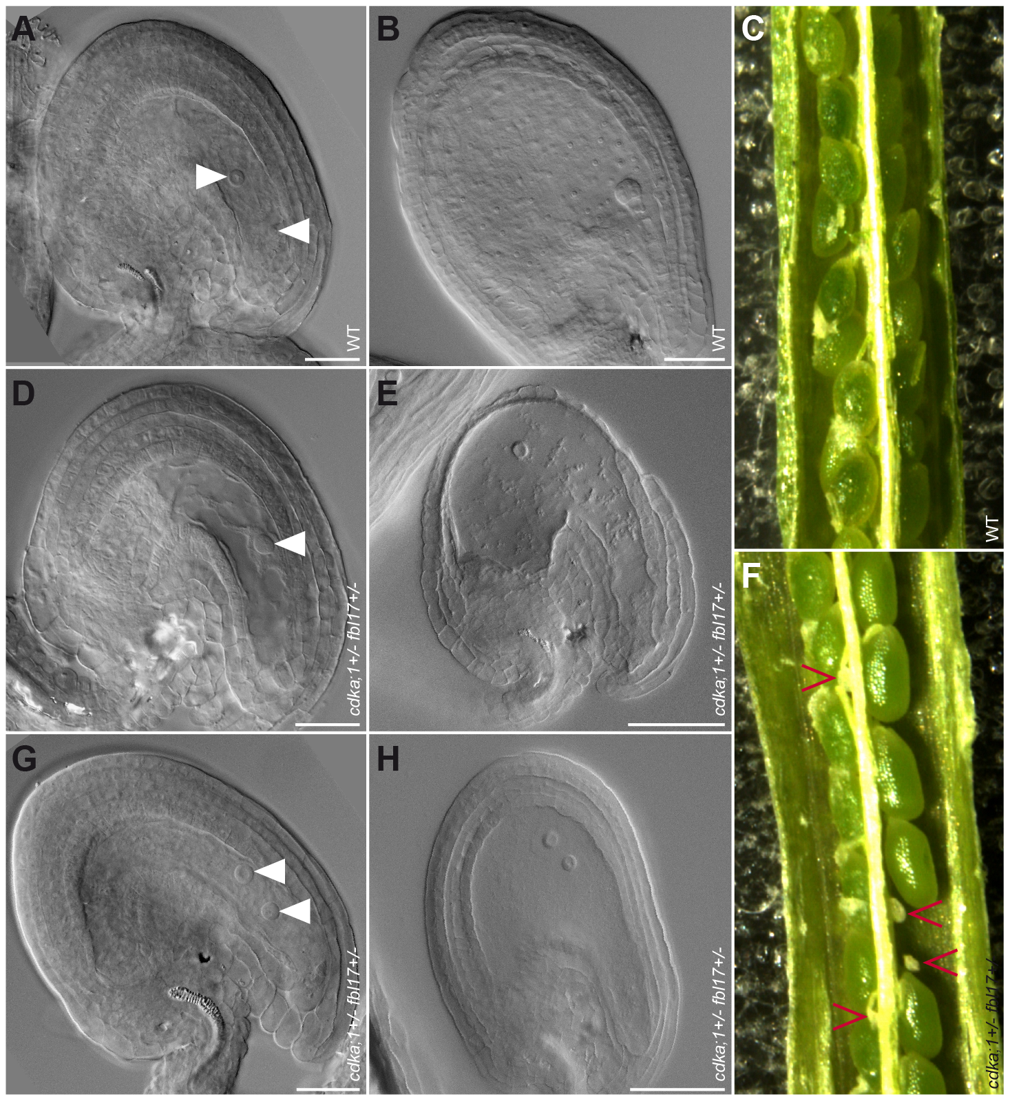 Mature ovules and seed development in wild type and <i>cdka;1 fbl17</i> double mutant.