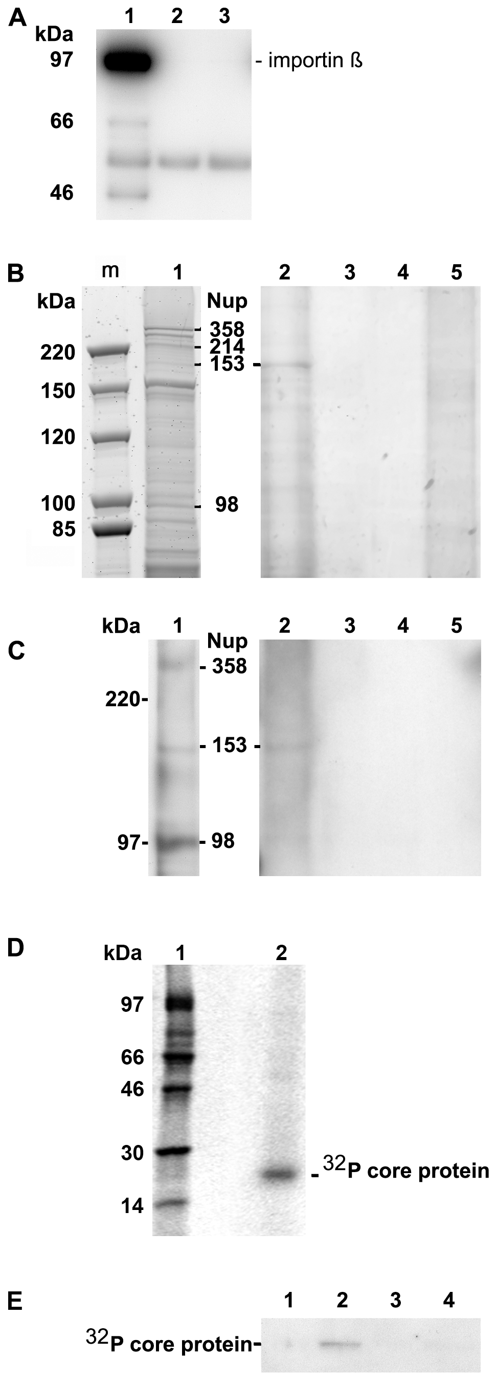 Co-immune precipitation of Nup153 from rat nuclear extracts with Immat-C.