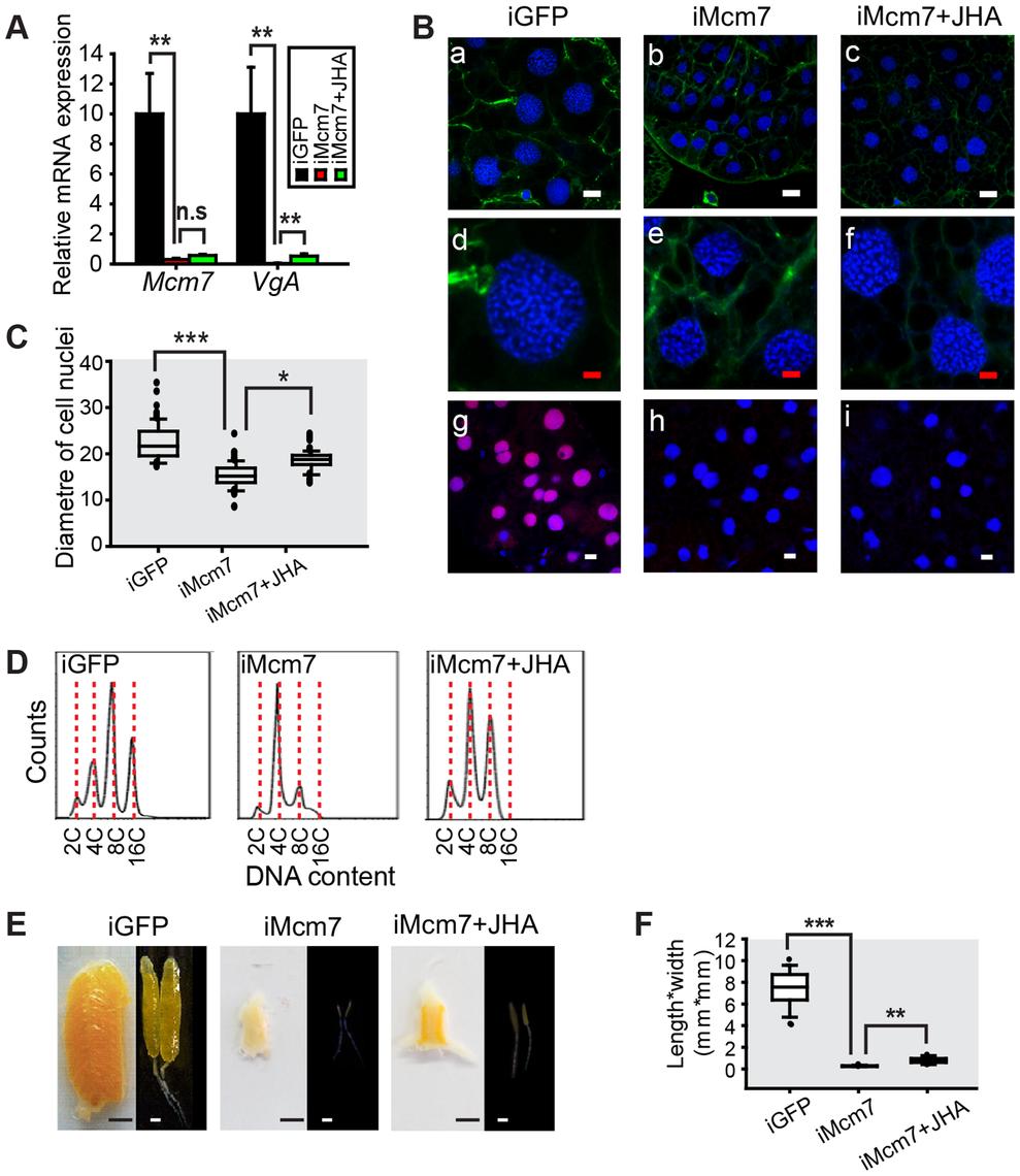 Effect of <i>Mcm7</i> RNAi on DNA replication, ployploidy and vitellogenesis.