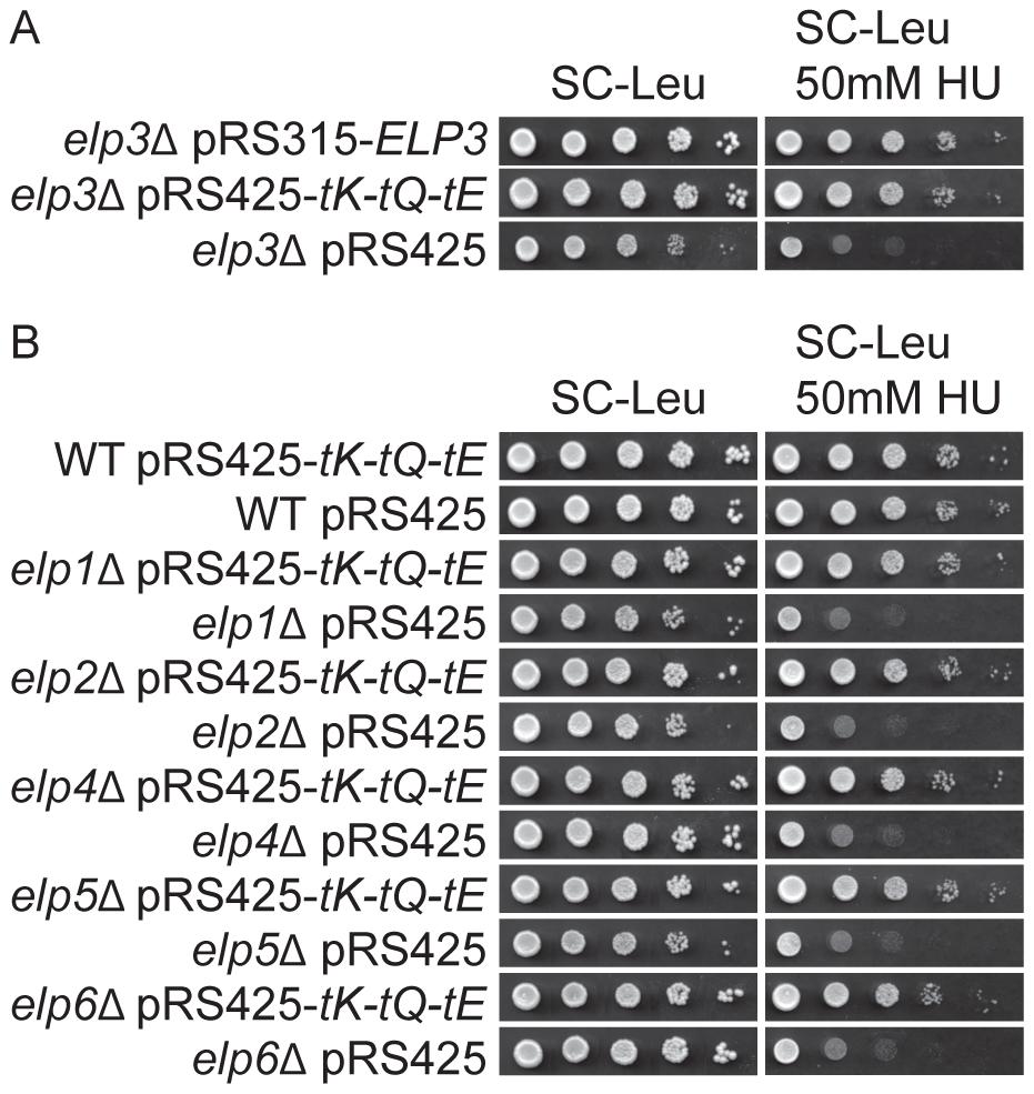 Elevated levels of tRNA<sup>Lys</sup><sub>s<sup>2</sup></sub><sub>UUU</sub>, tRNA<sup>Gln</sup><sub>s<sup>2</sup></sub><sub>UUG</sub>, and tRNA<sup>Glu</sup><sub>s<sup>2</sup></sub><sub>UUC</sub> suppress the HU sensitivity induced by Elongator mutants.