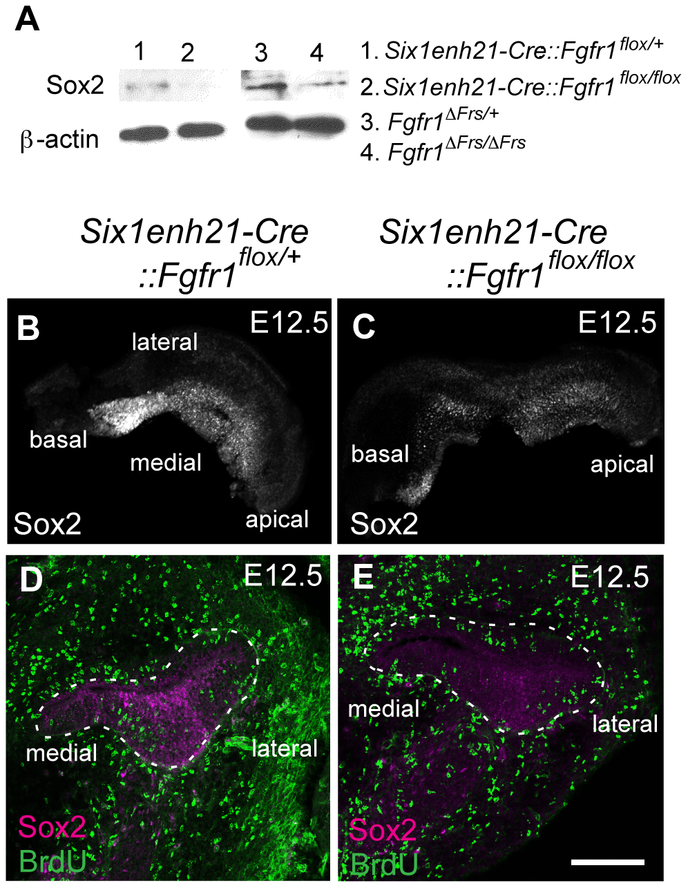 Sox2 is down-regulated prior to prosensory domain formation in FGFR1 signalling mutants.