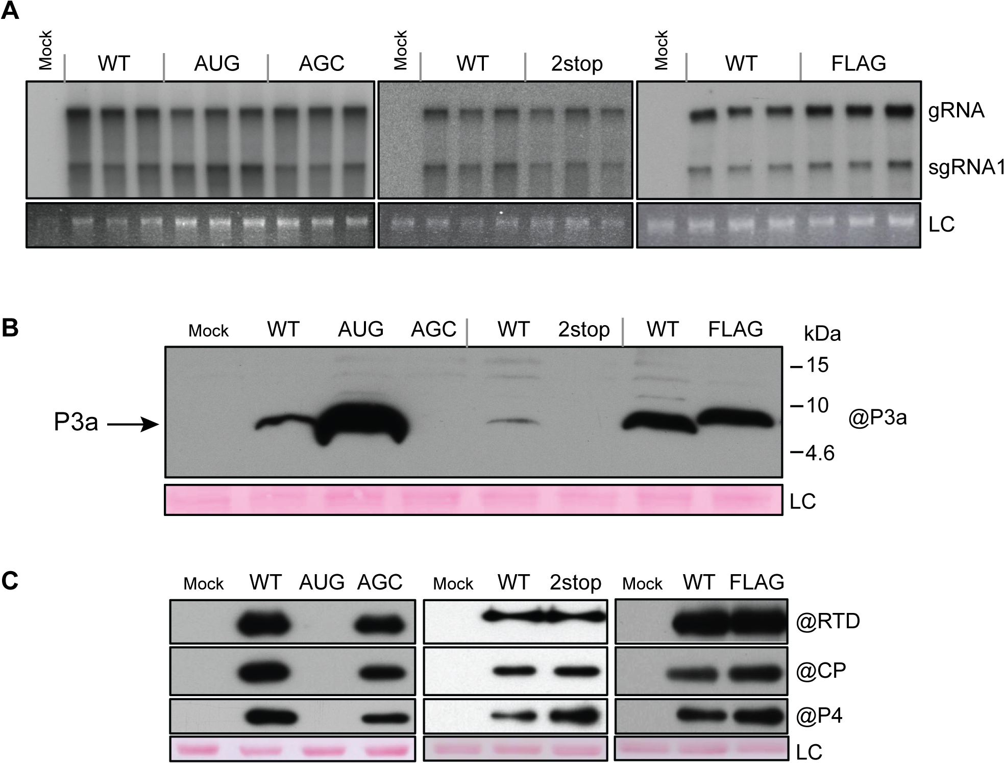 Protoplast infection with TuYV-ORF3a mutants.