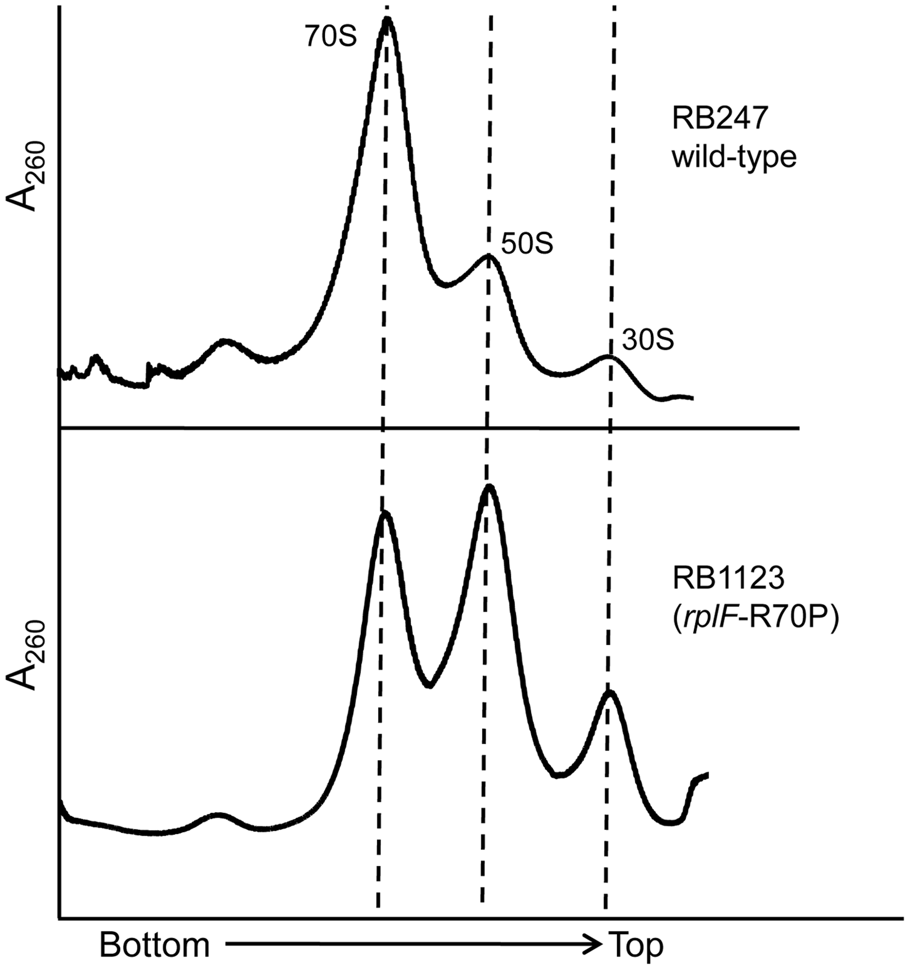 Mutations in L6 protein affect subunit joining/interaction.