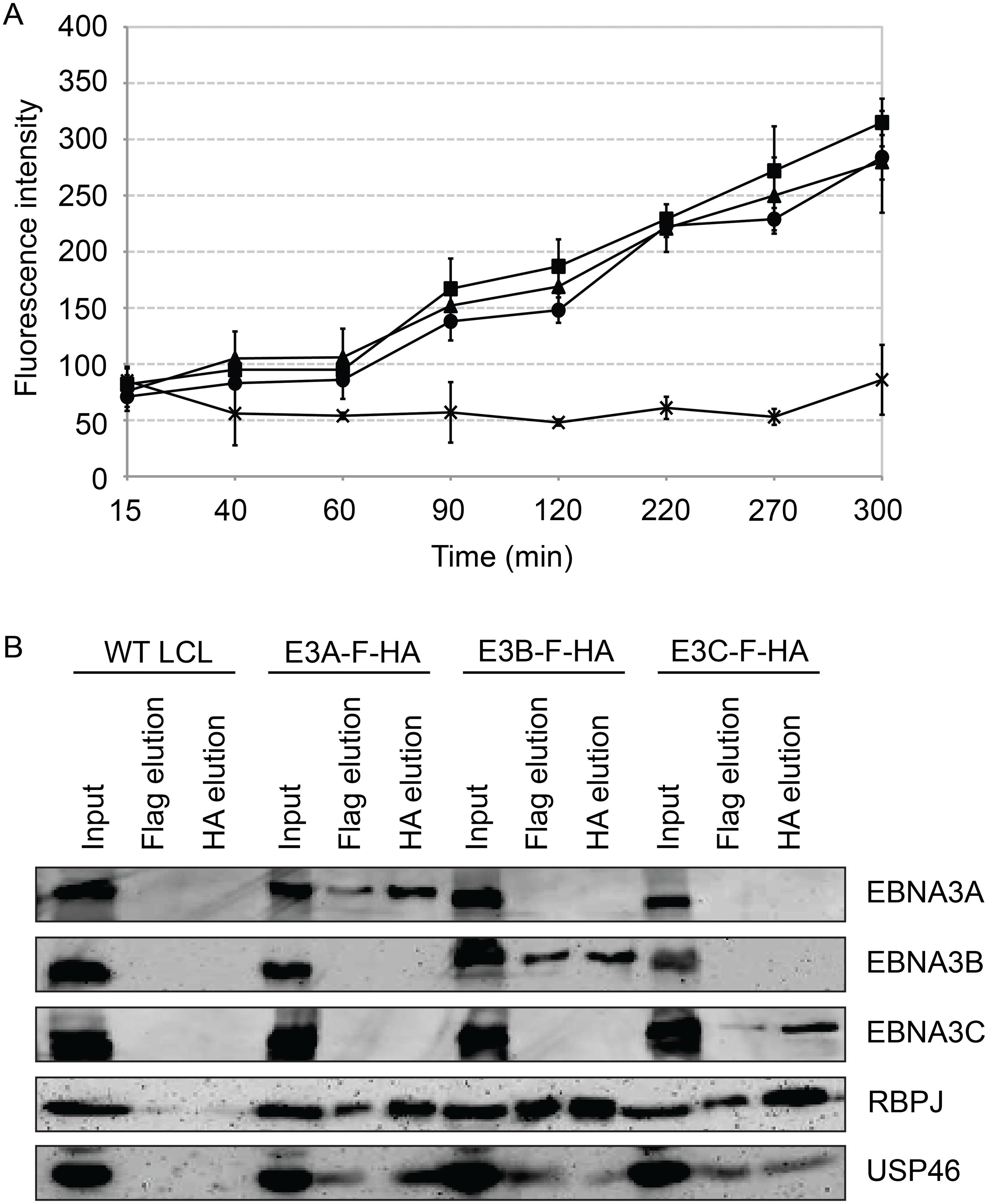Purified EBNA3 complexes exhibit DUB activity.