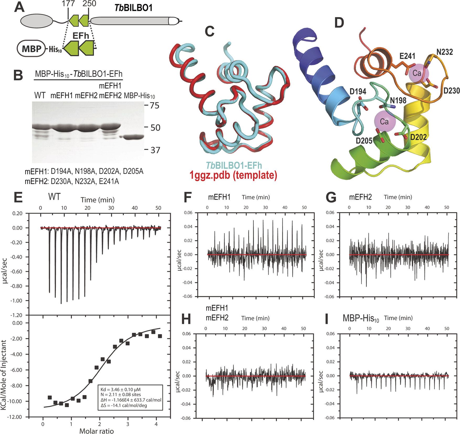 The conserved residues in the loops of the EF-hand domains are required for calcium binding.