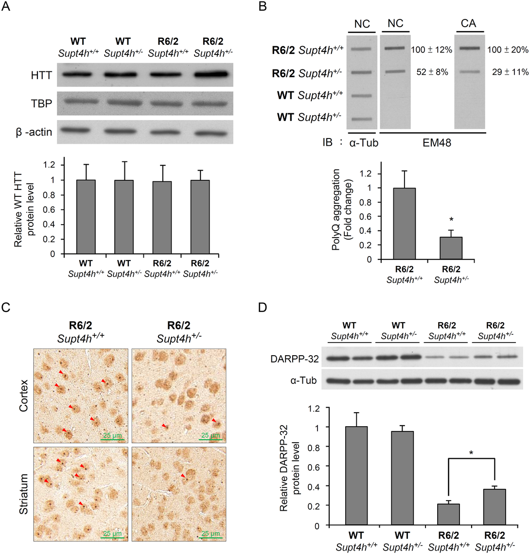 Mutant HTT aggregation in the brain of R6/2 mice deleted for one <i>Supt4h</i> allele.