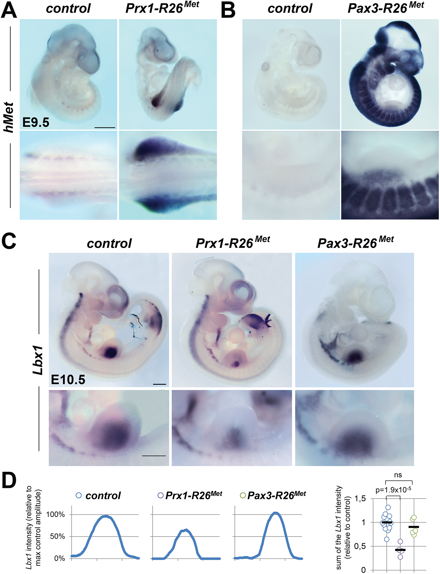 Ectopic Met in limb mesenchyme drastically reduces limb colonization by migrating myoblasts.