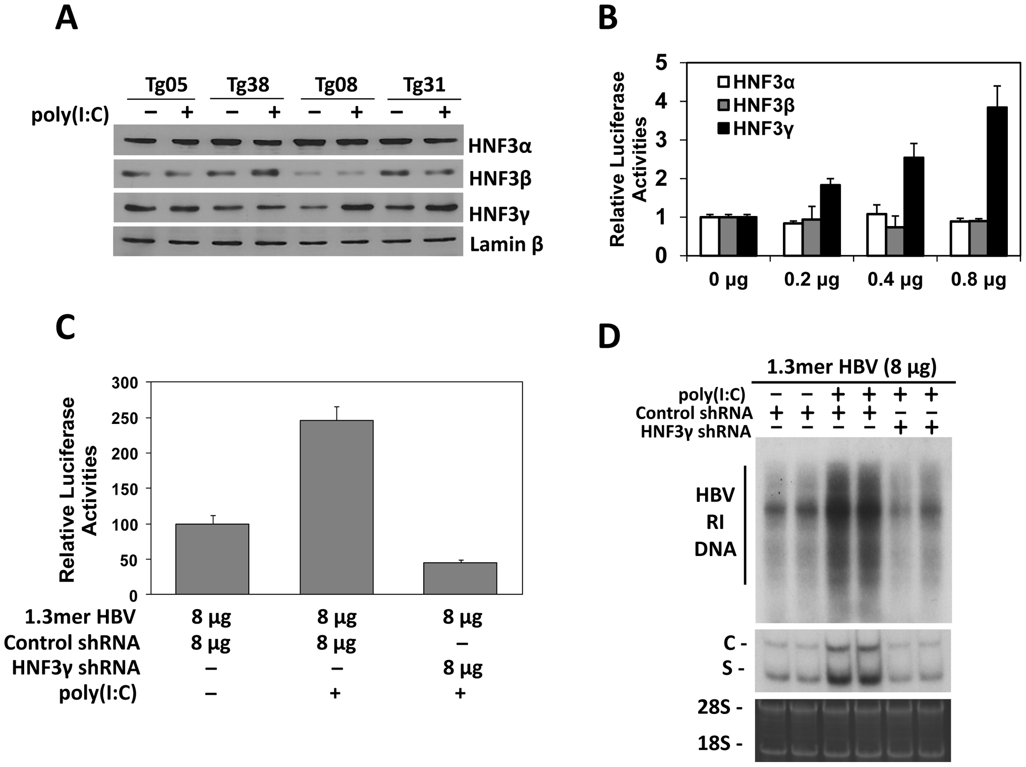 Effects of HNF3 on HBV replication.