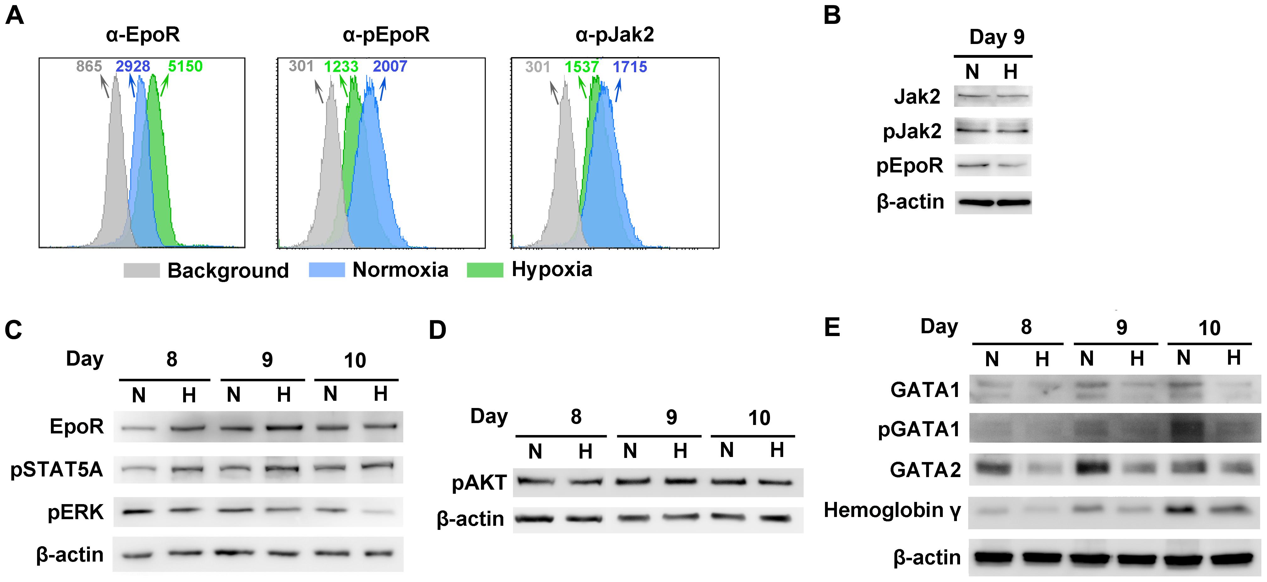 Characterization of CD36<sup>+</sup> EPCs cultured under normoxia <i>vs.</i> hypoxia.