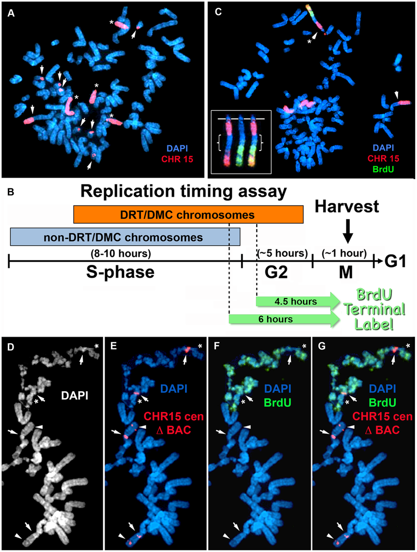 Chromosome rearrangements and delayed replication of a Cre/loxP-mediated deletion (∼135 kb) in chromosome 15.