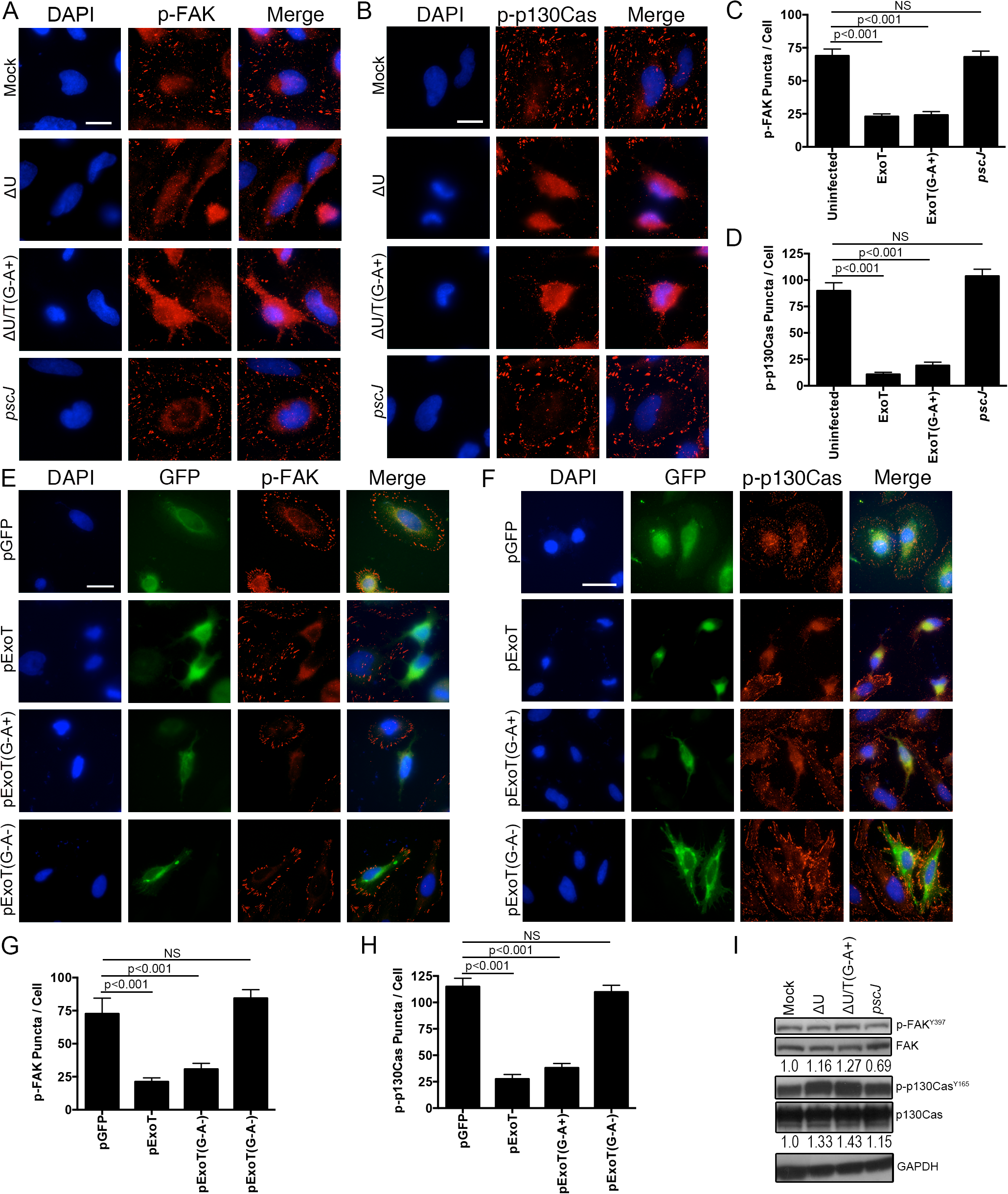 ExoT and ADPRT disrupt focal adhesion sites.