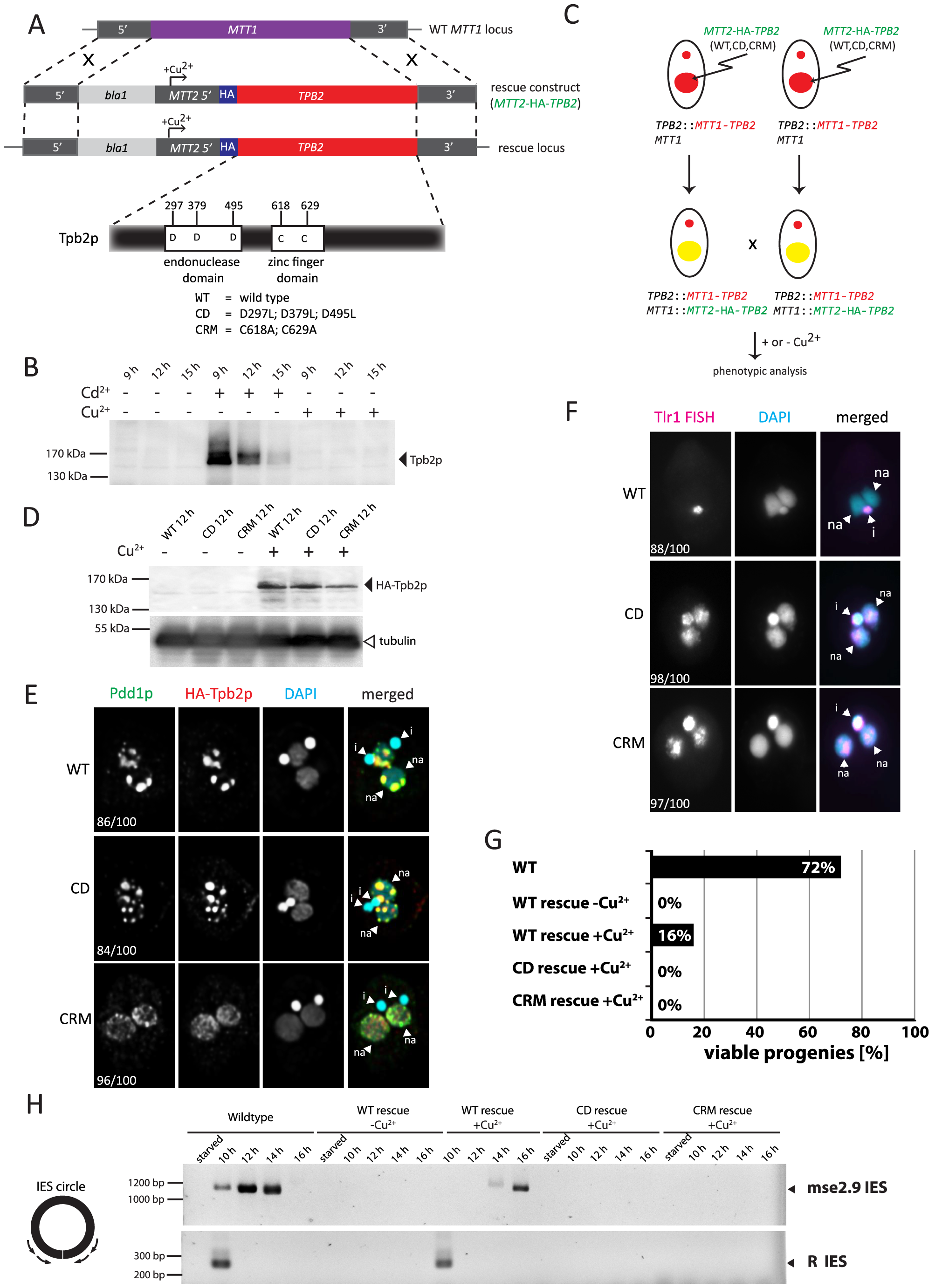 Functional analyses of the endonuclease and cysteine-rich domains of <i>TPB2</i> in vivo.