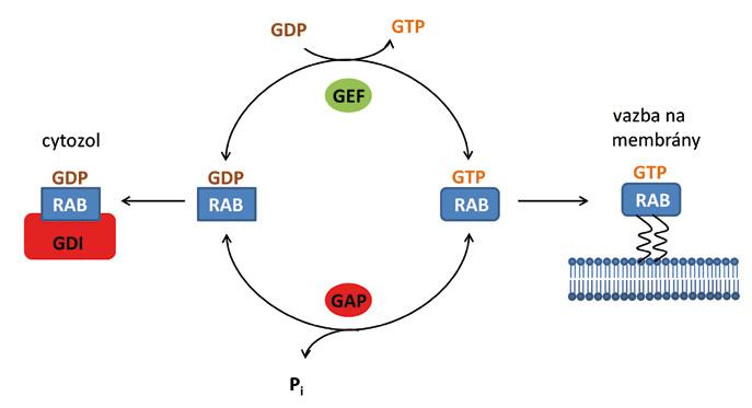 Schematické znázornění aktivace proteinů Rab v buňce. Proteiny Rab se vyskytují v buňce ve dvou formách – v aktivní formě s navázaným GTP a neaktivní formě s navázaným GDP. V cytozolu jsou proteiny Rab neaktivní v komplexu s disociačním inhibitorem (GDI). Pro aktivaci Rab a jeho připojení k membráně je nezbytné odstranění GDI a výměna GDP za GTP.