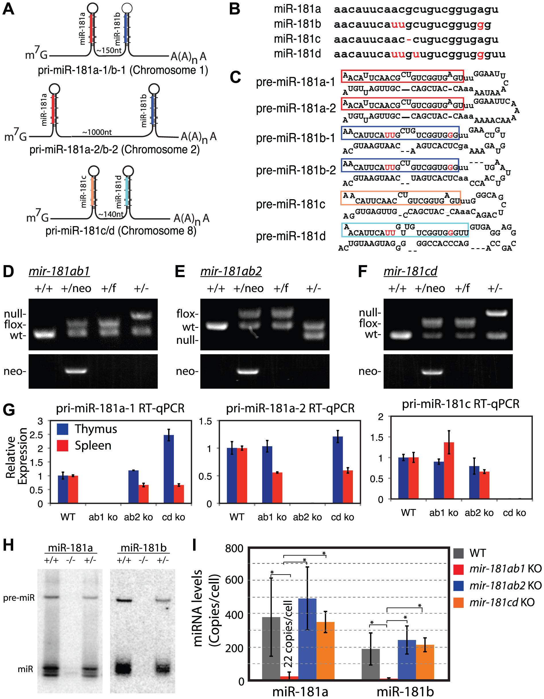 Generation of conditional <i>mir-181</i> alleles in mice.