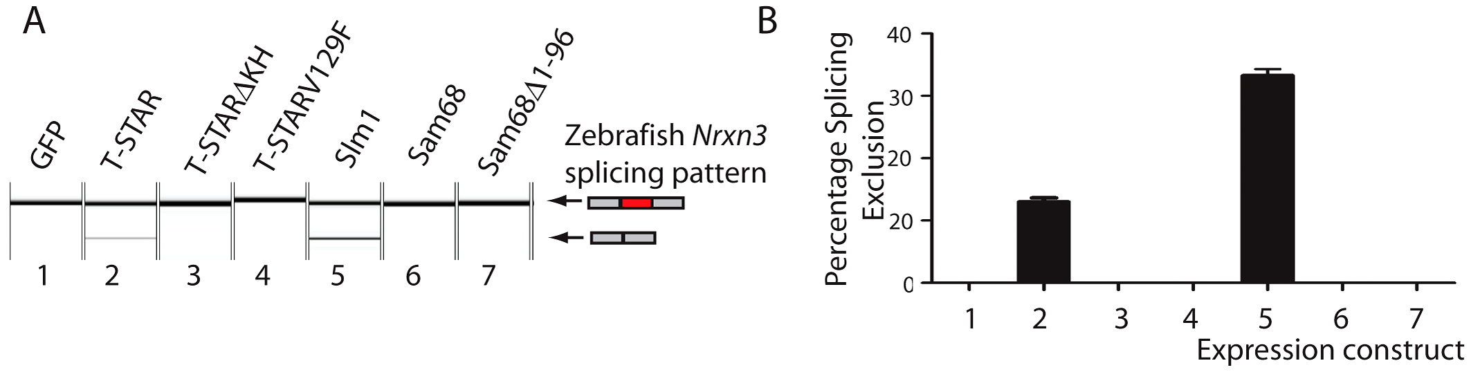 Human T-STAR protein represses splicing inclusion of the Zebrafish <i>Nrxn3</i> AS4 exon.