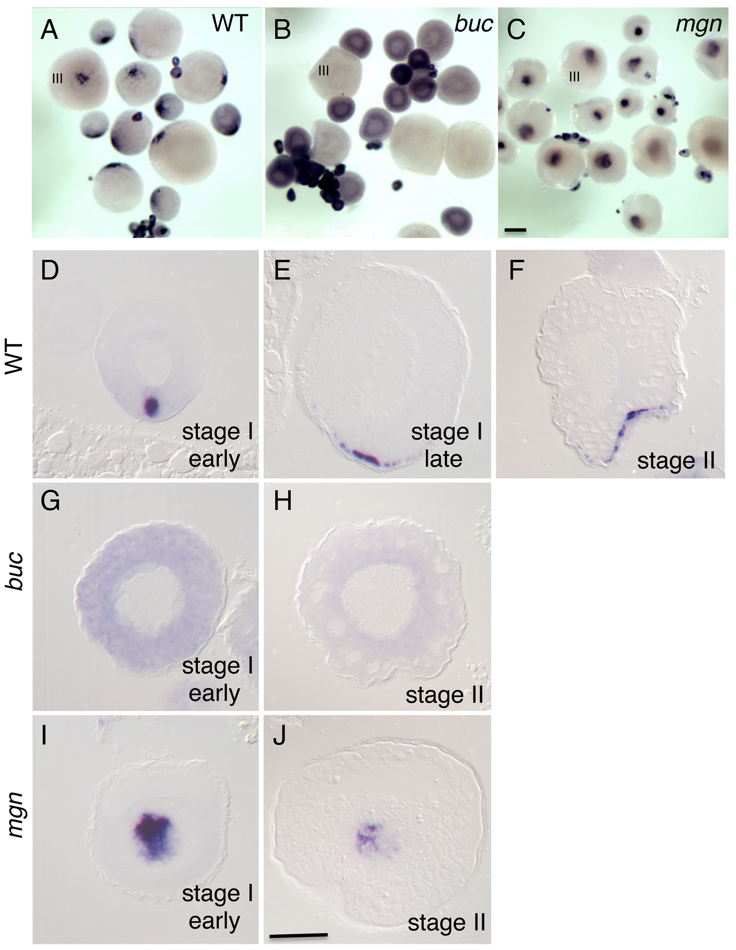 Localization of <i>grip2a</i> mRNA in wild-type and mutant oocytes.