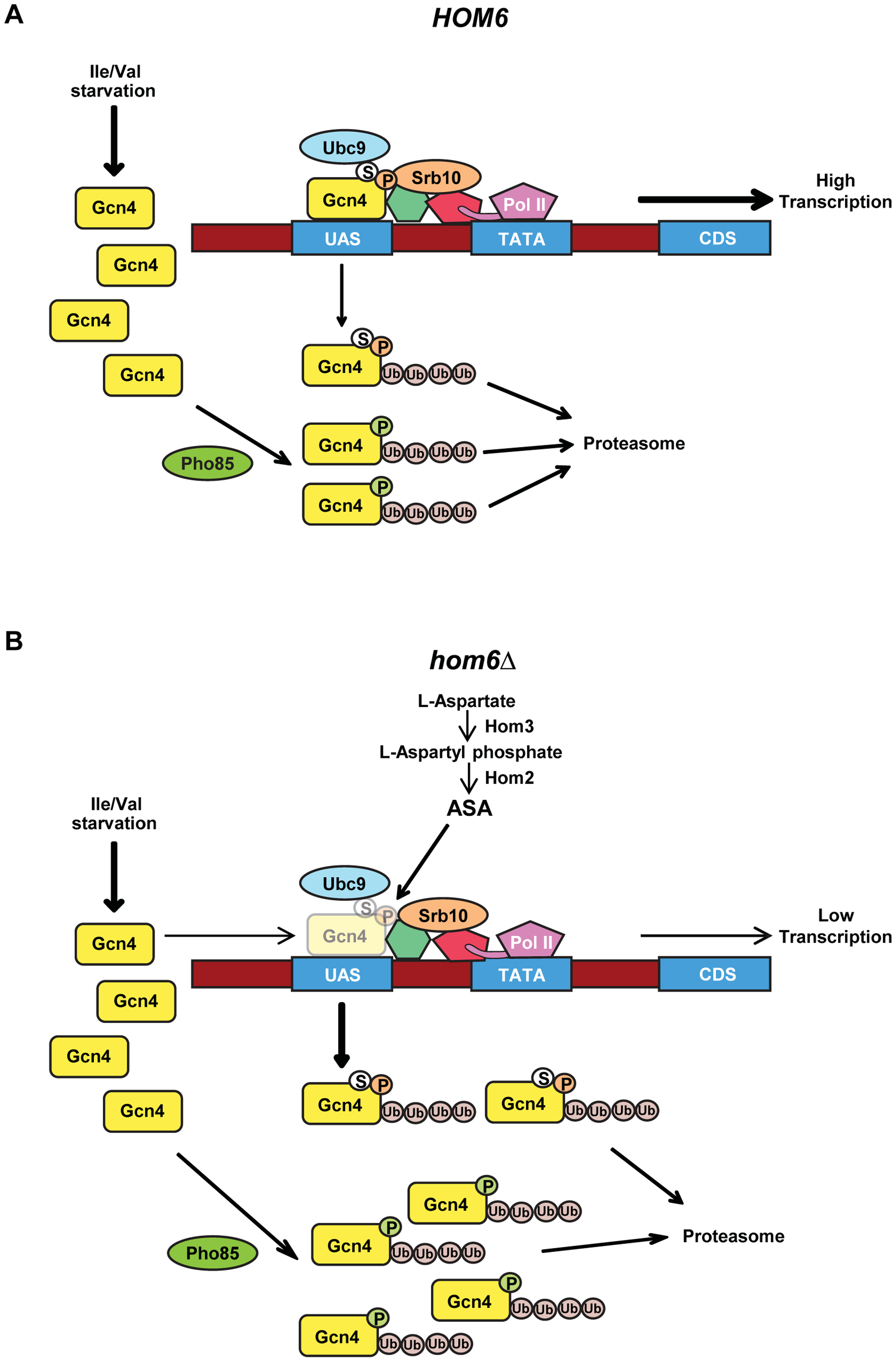 Model for the roles of Pho85 and Srb10 in accelerated turnover of Gcn4 in response to ASA accumulation in <i>hom6Δ</i> cells.