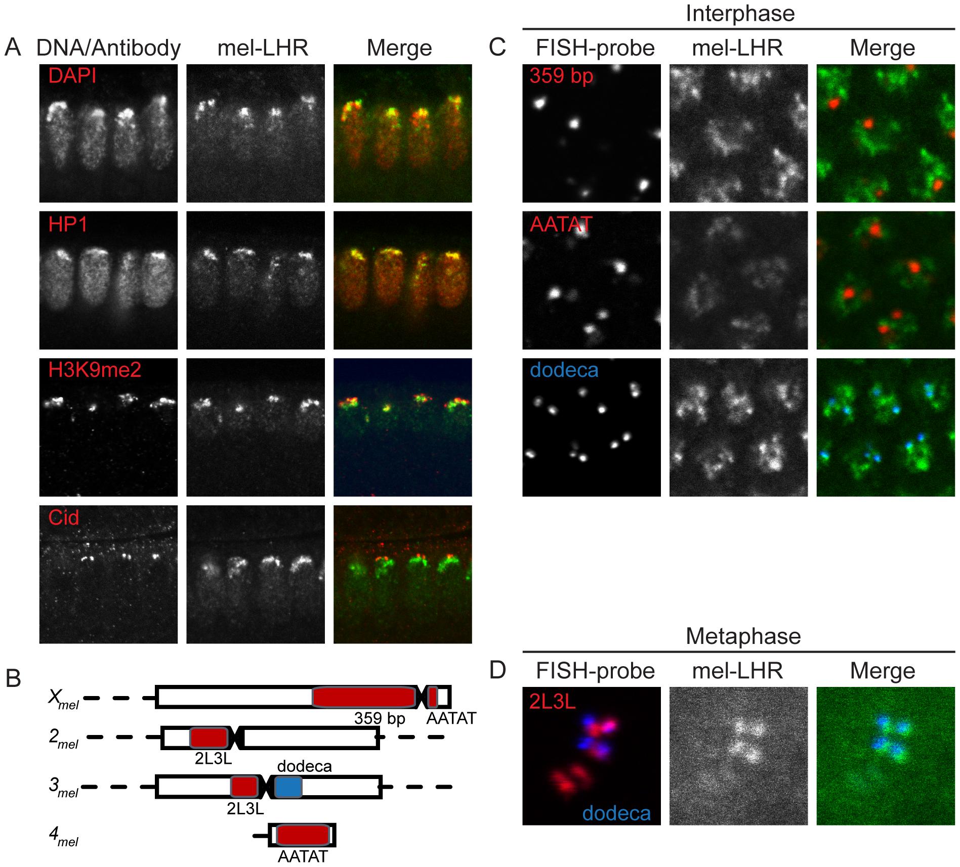 Localization of <i>D. melanogaster</i> LHR within pericentric heterochromatin.