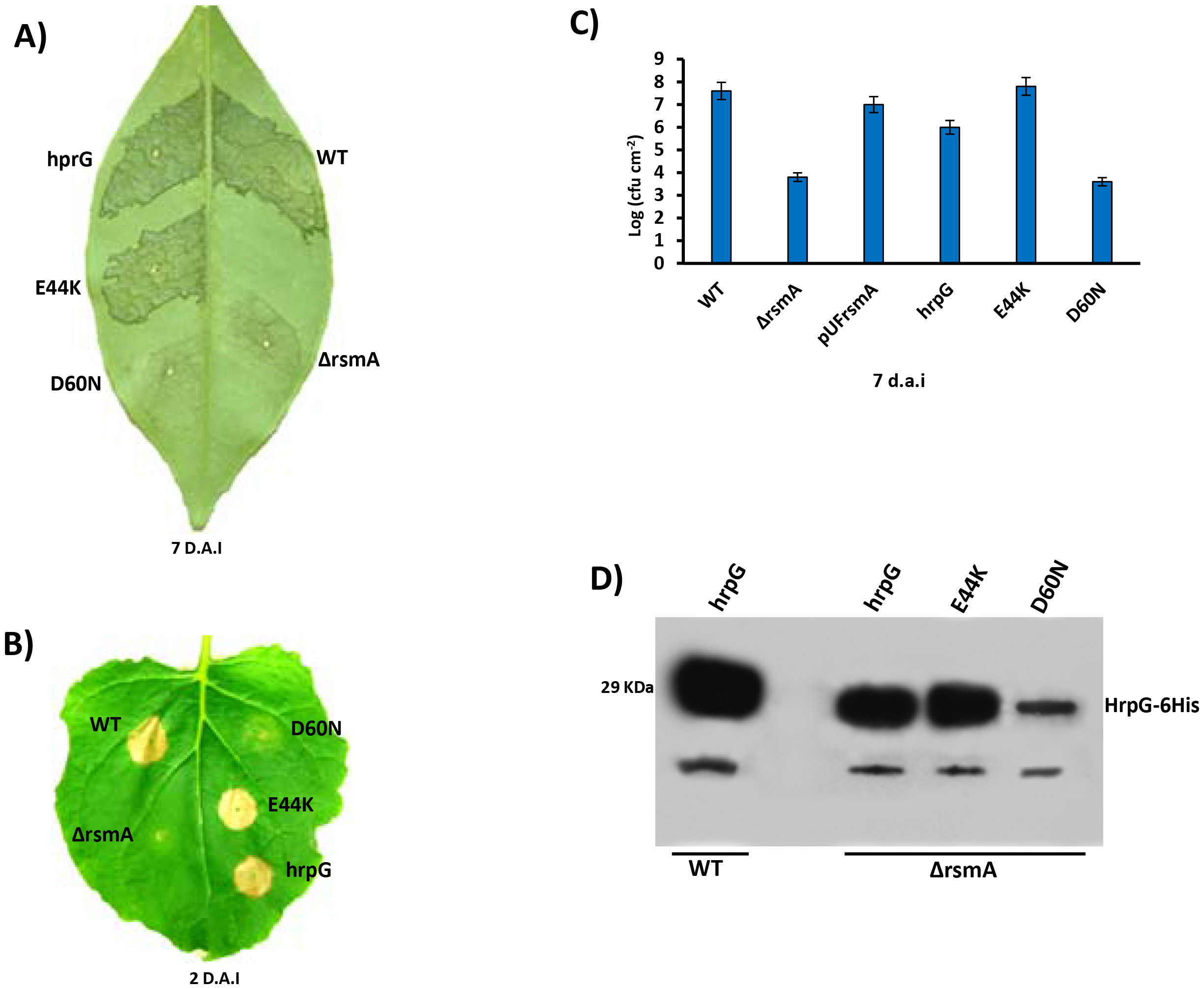 Ectopic expression of <i>hrpG</i> under control of a constitutive promoter restores full pathogenicity and HR of the <i>rsmA</i> mutant of <i>Xanthomonas citri</i> subsp. citri.