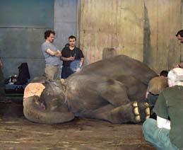 Slonice Praya po uvedení do celkové anestezie. Fig. 1. General anesthesia of the female elephant Praya.