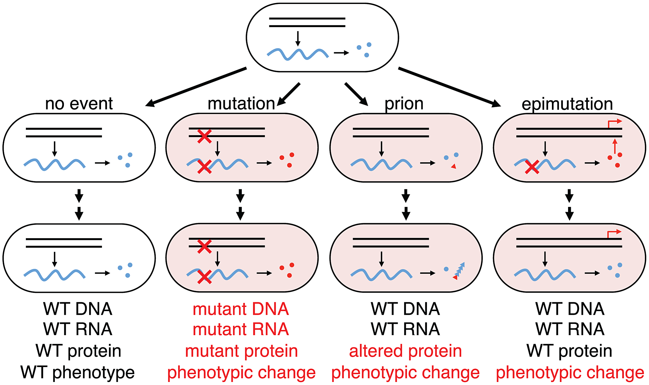 Phenotypic consequences from errors in information transfer in a cellular lineage.